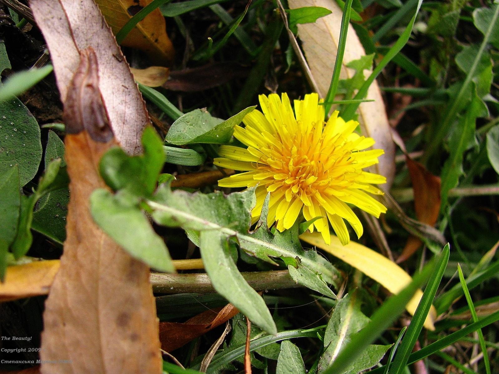 7389 скачать обои Растения, Цветы, Одуванчики - заставки и картинки бесплатно
