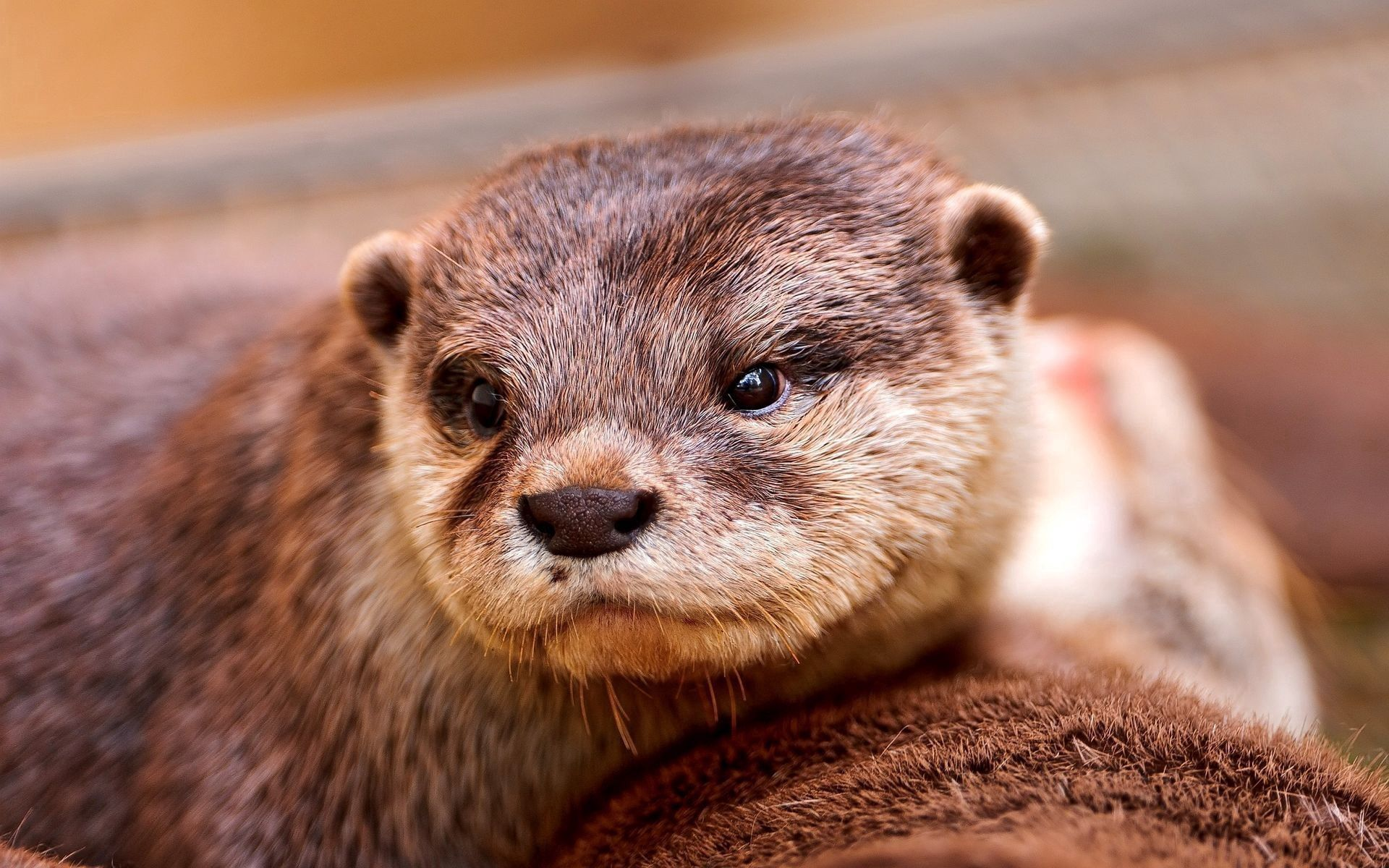 68719 download wallpaper Animals, Otter, Muzzle, Eyes, Animal screensavers and pictures for free