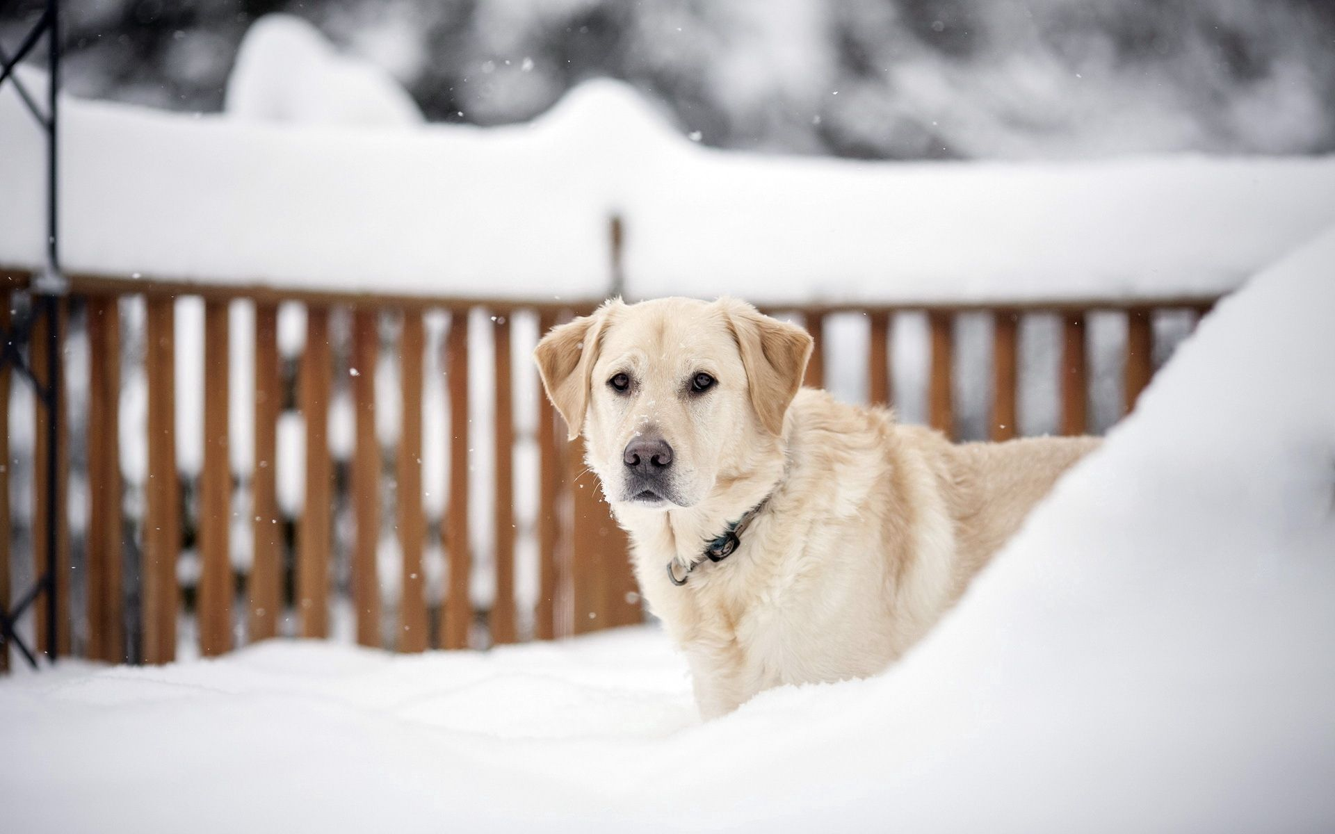 139619 download wallpaper Animals, Dog, Snow, Muzzle, Sight, Opinion, Stroll screensavers and pictures for free