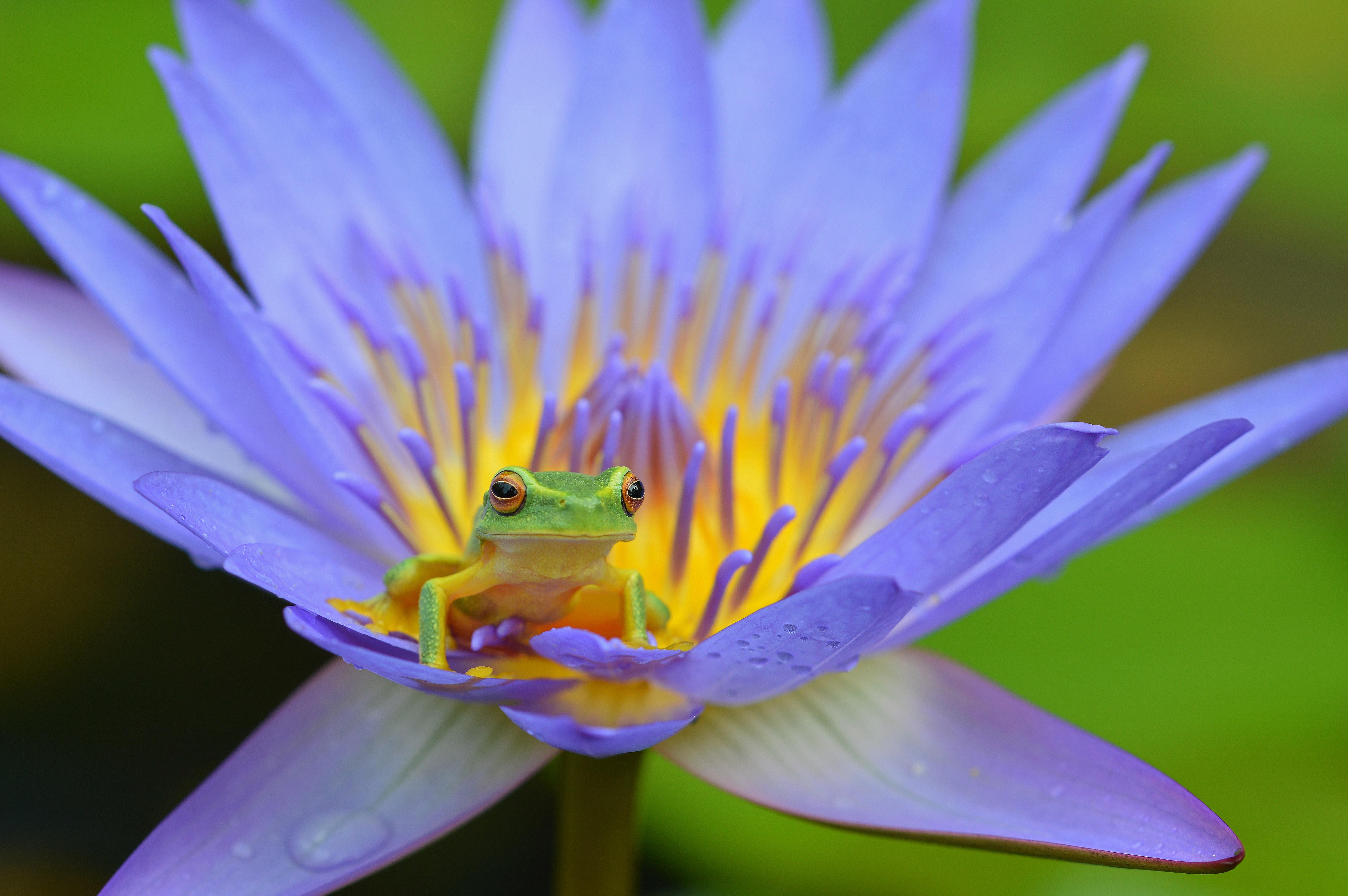 90616 Hintergrundbild herunterladen Tiere, Lotus, Frosch, Amphibie, Amphibien - Bildschirmschoner und Bilder kostenlos