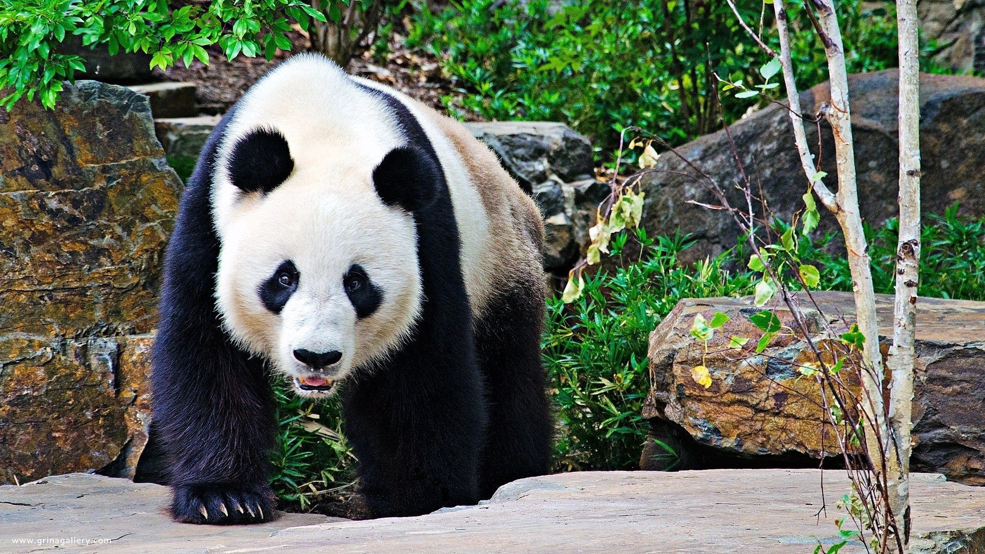 99487 download wallpaper Animals, Panda, Stones, Branches, Stroll, Large, Big screensavers and pictures for free