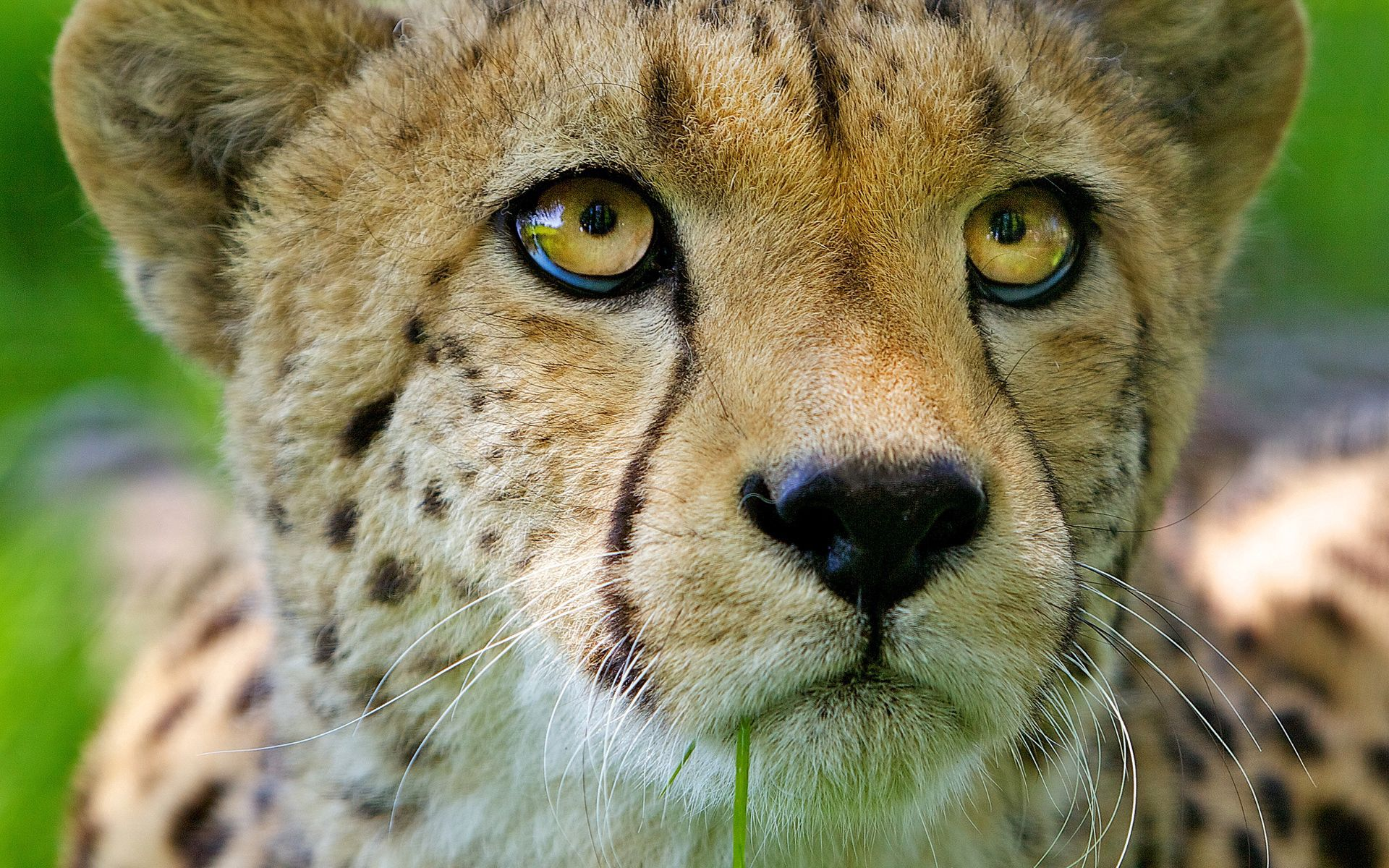 53522 Screensavers and Wallpapers Young for phone. Download Animals, Cheetah, Young, Muzzle, Close-Up, Joey, Nose pictures for free