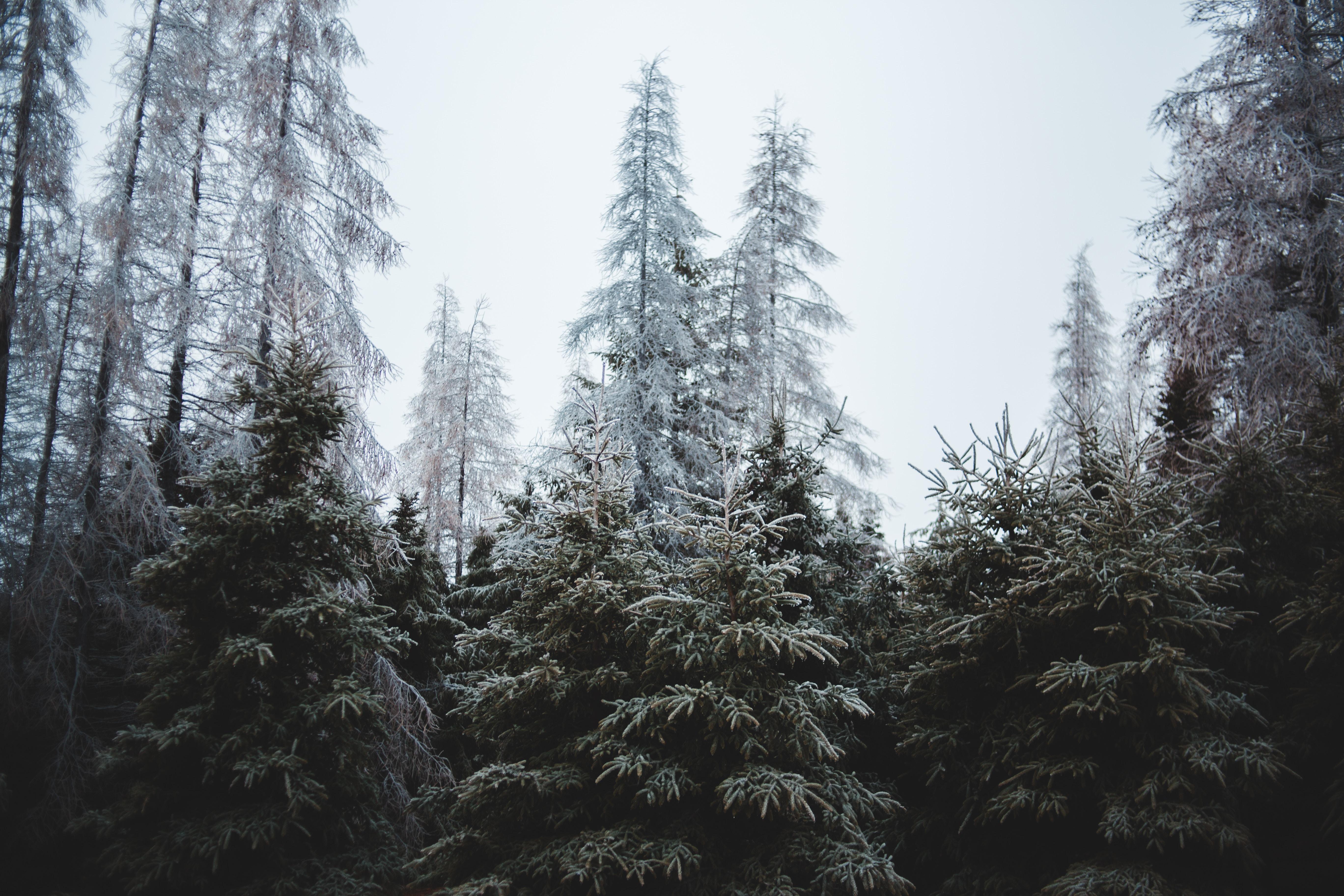 74312 скачать обои Природа, Лес, Деревья, Хвойный, Сосны, Елки - заставки и картинки бесплатно
