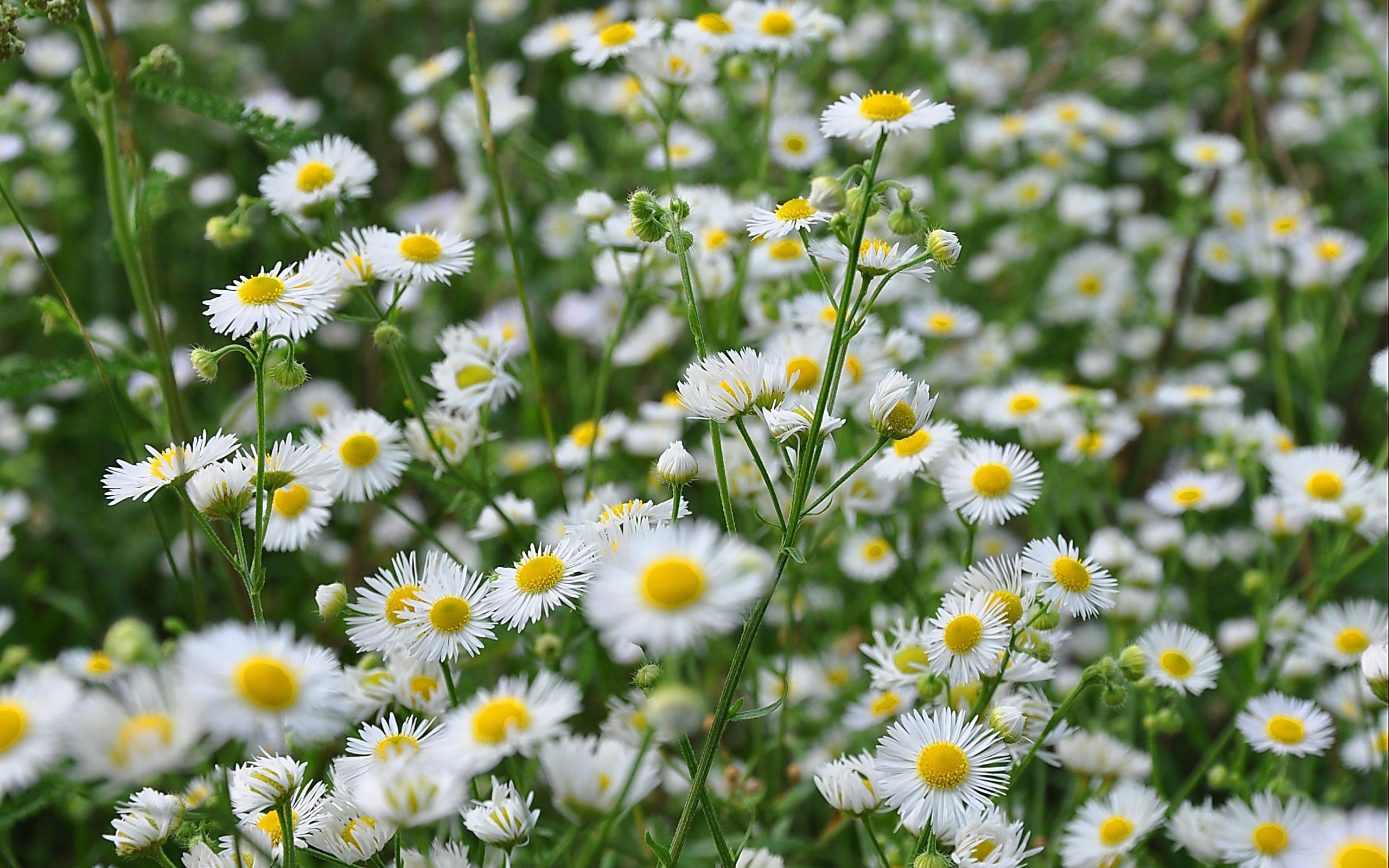 50017 скачать обои Растения, Цветы, Ромашки - заставки и картинки бесплатно