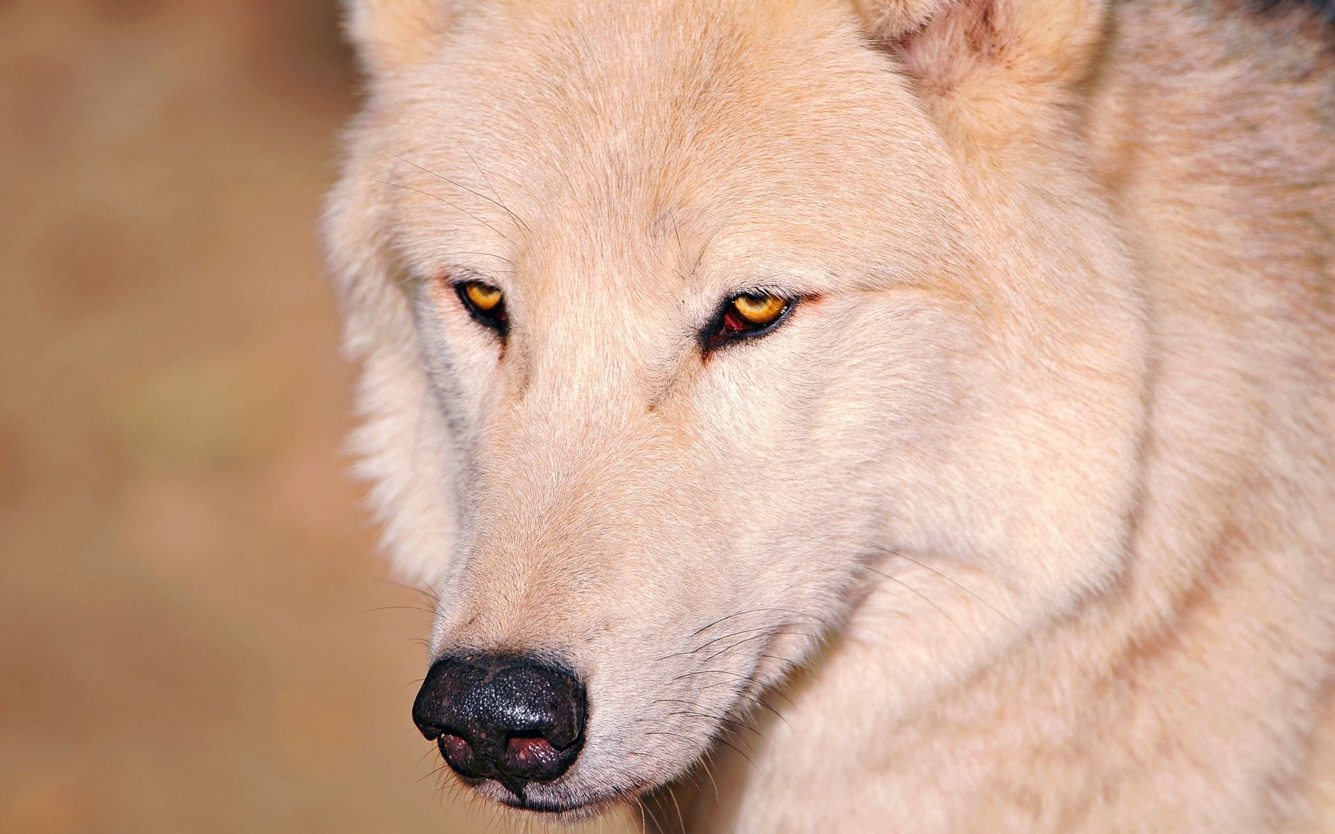 107352 download wallpaper Animals, Wolf, Eyes, Nose screensavers and pictures for free