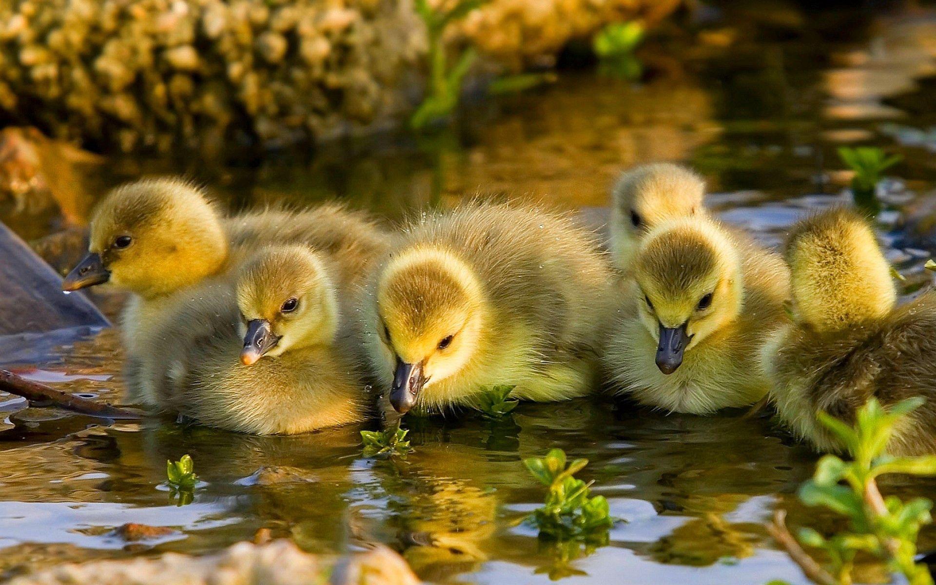 154576 Hintergrundbild herunterladen Tiere, Vögel, Flüsse, Ducks, Schwimmen - Bildschirmschoner und Bilder kostenlos