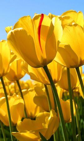 38175 descargar fondo de pantalla Plantas, Flores, Tulipanes: protectores de pantalla e imágenes gratis