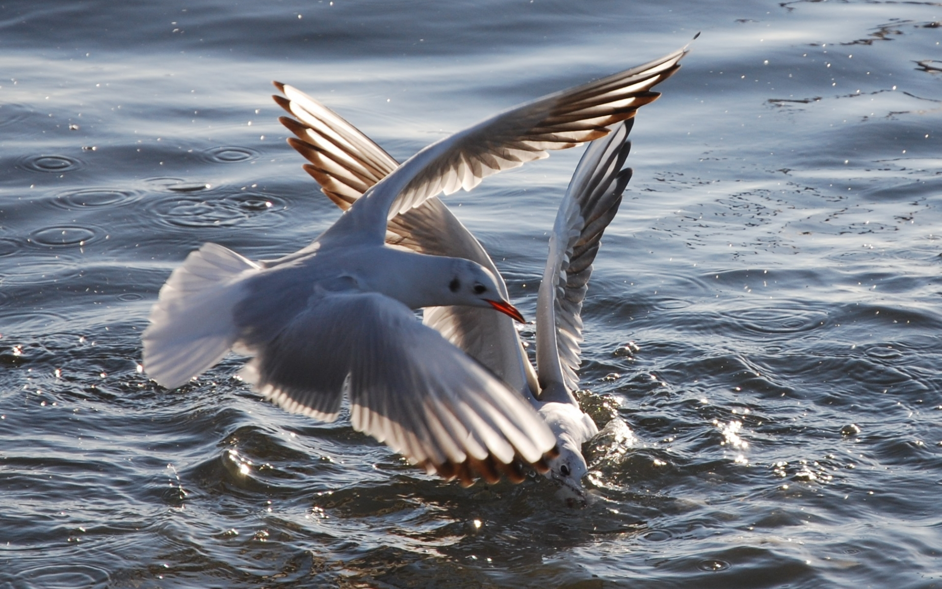 155 download wallpaper Animals, Birds, Water, Seagulls screensavers and pictures for free