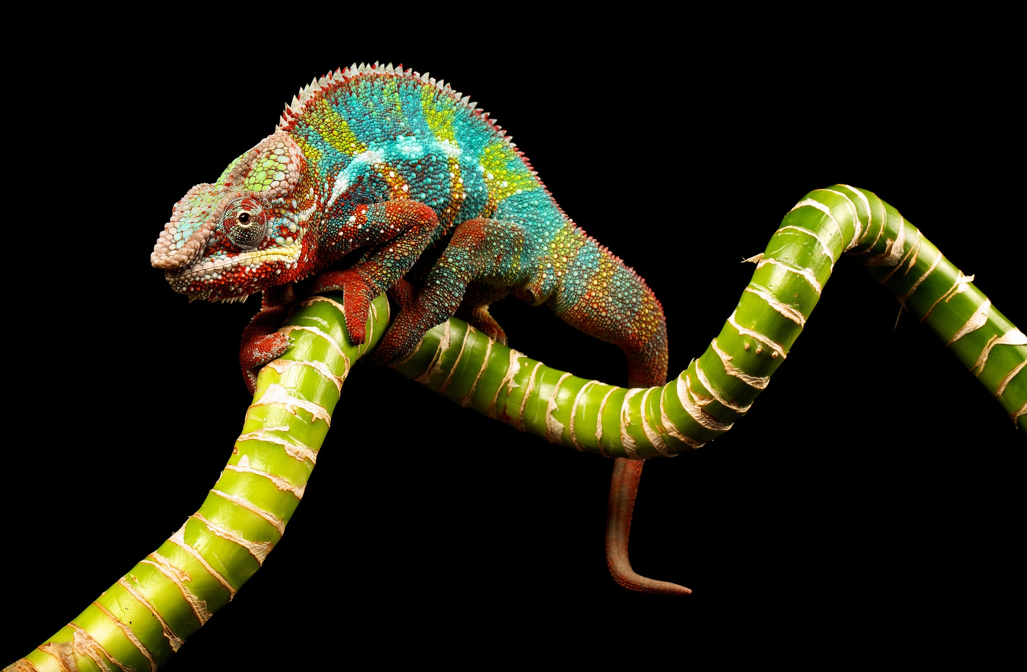 52155 Screensavers and Wallpapers Color for phone. Download Animals, Branch, Color, Reptile, Chameleon pictures for free