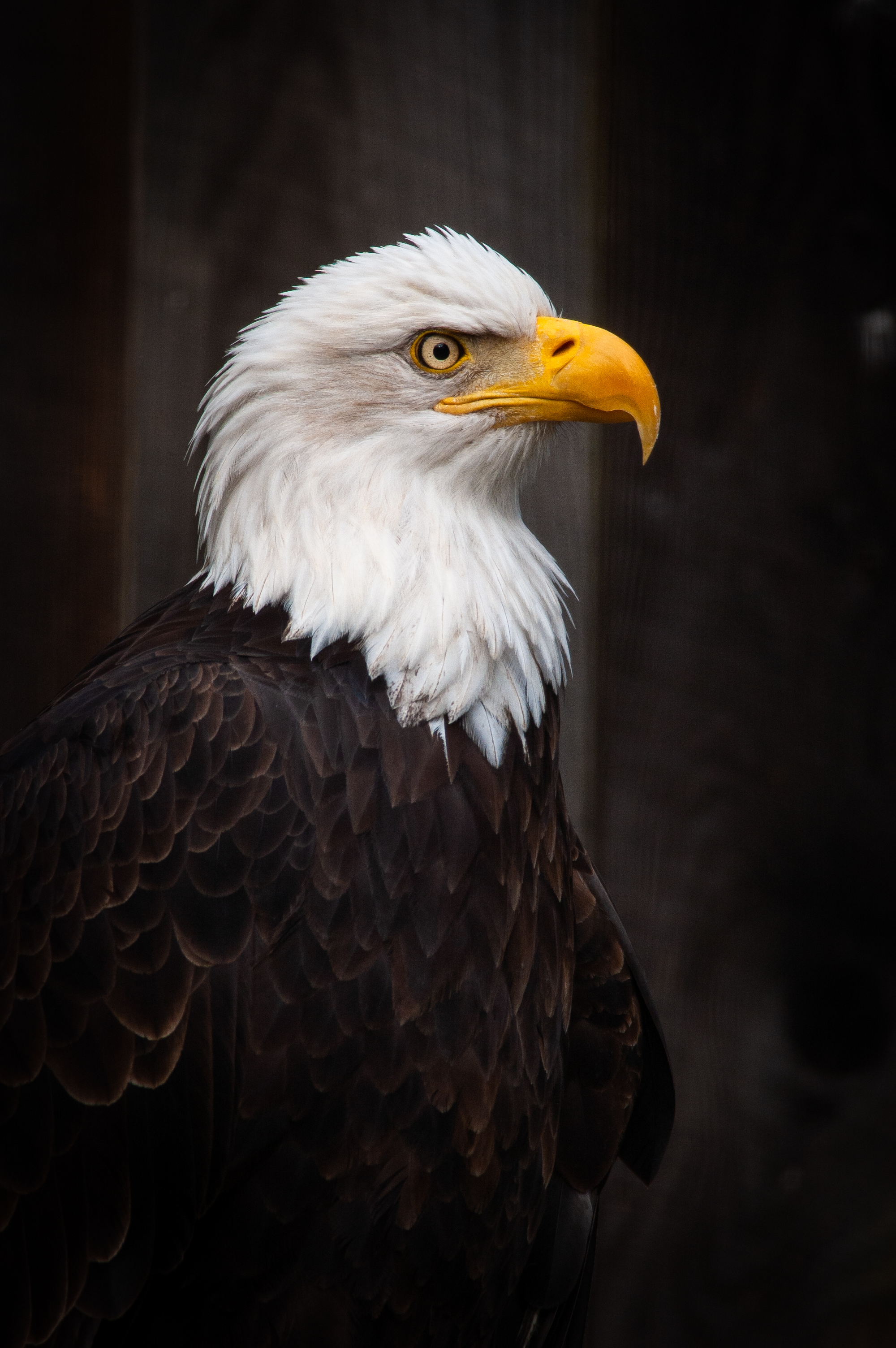 140579 download wallpaper Animals, Eagle, Bird, Predator, Beak, Feather screensavers and pictures for free