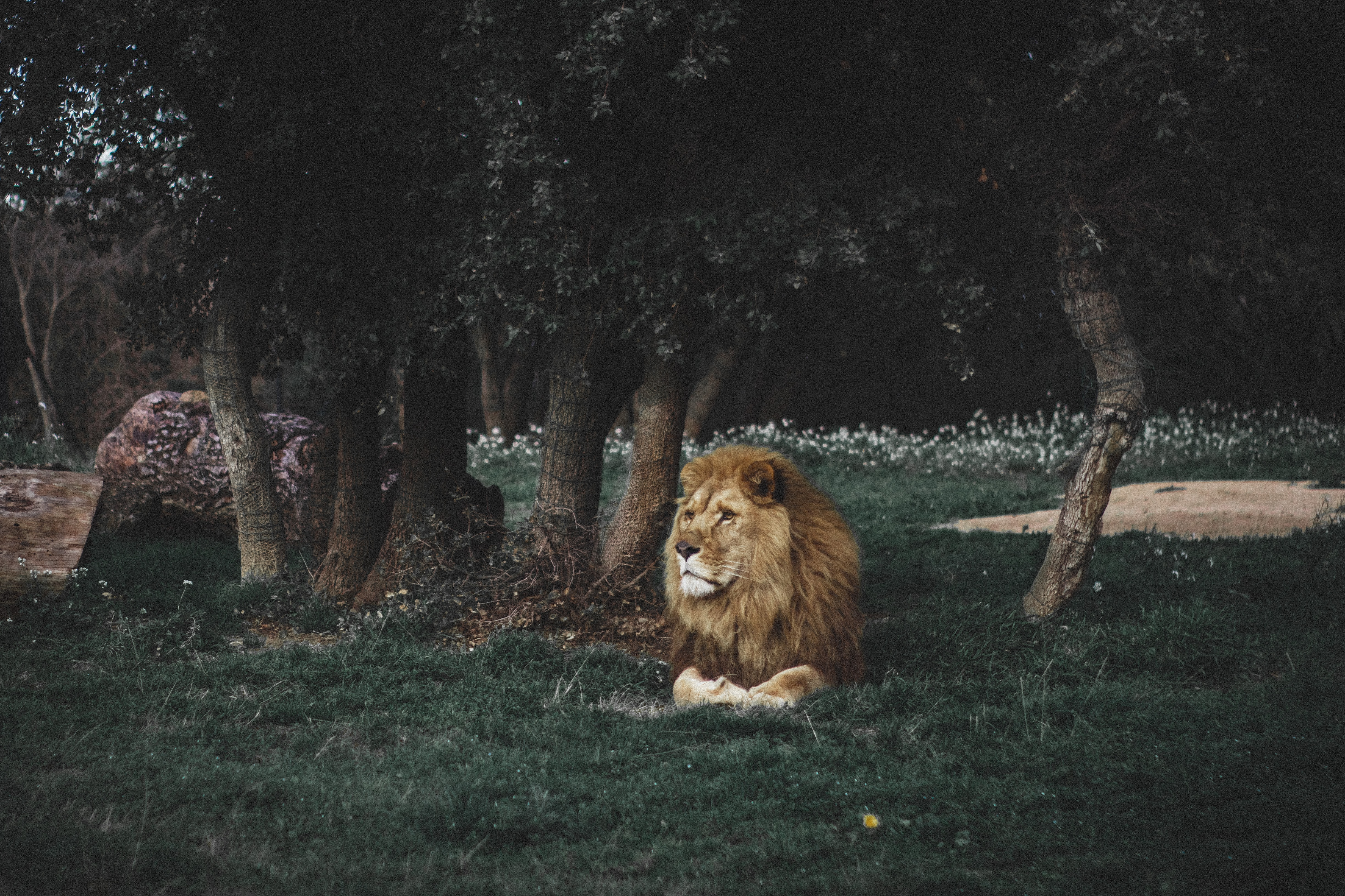 84292 Screensavers and Wallpapers Lion for phone. Download Lion, Animals, Predator, Big Cat, Wildlife, Mane pictures for free