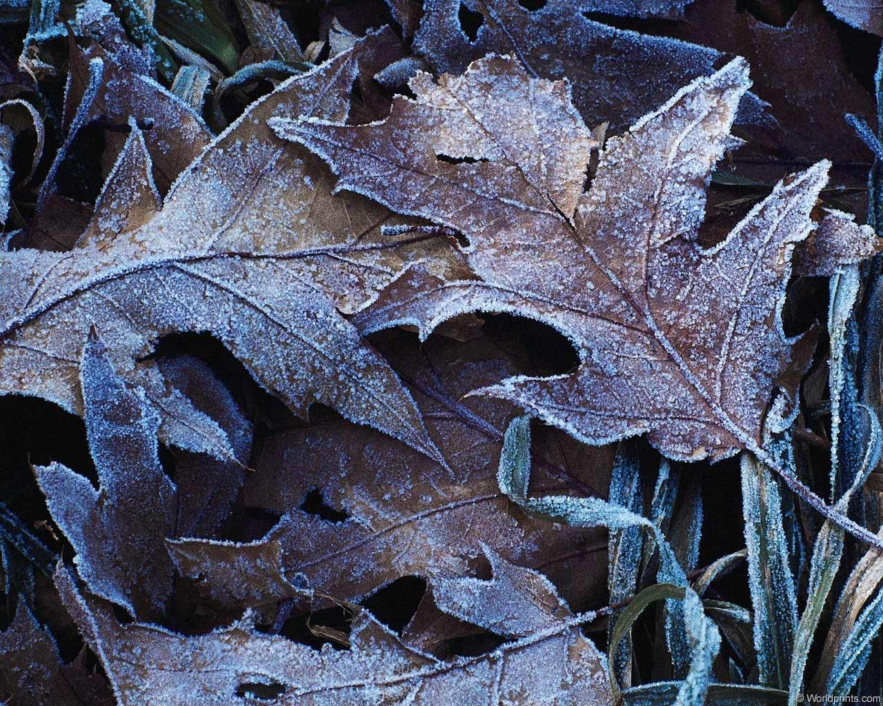 1267 скачать обои Растения, Зима, Листья - заставки и картинки бесплатно