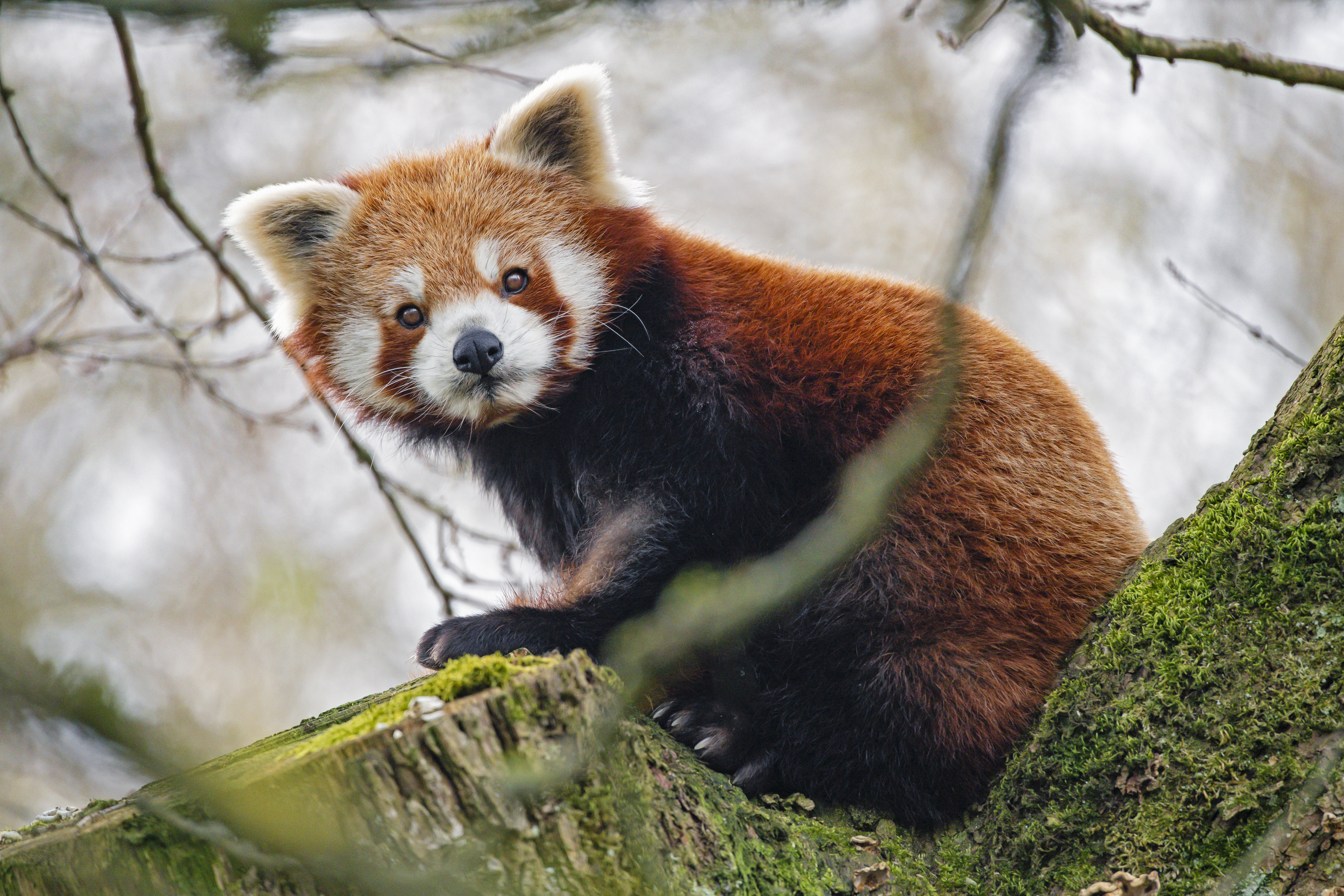 55390 download wallpaper Animals, Red Panda, Panda, Sight, Opinion, Animal screensavers and pictures for free