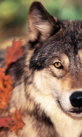 49360 baixar papel de parede Animais, Lobos - protetores de tela e imagens gratuitamente