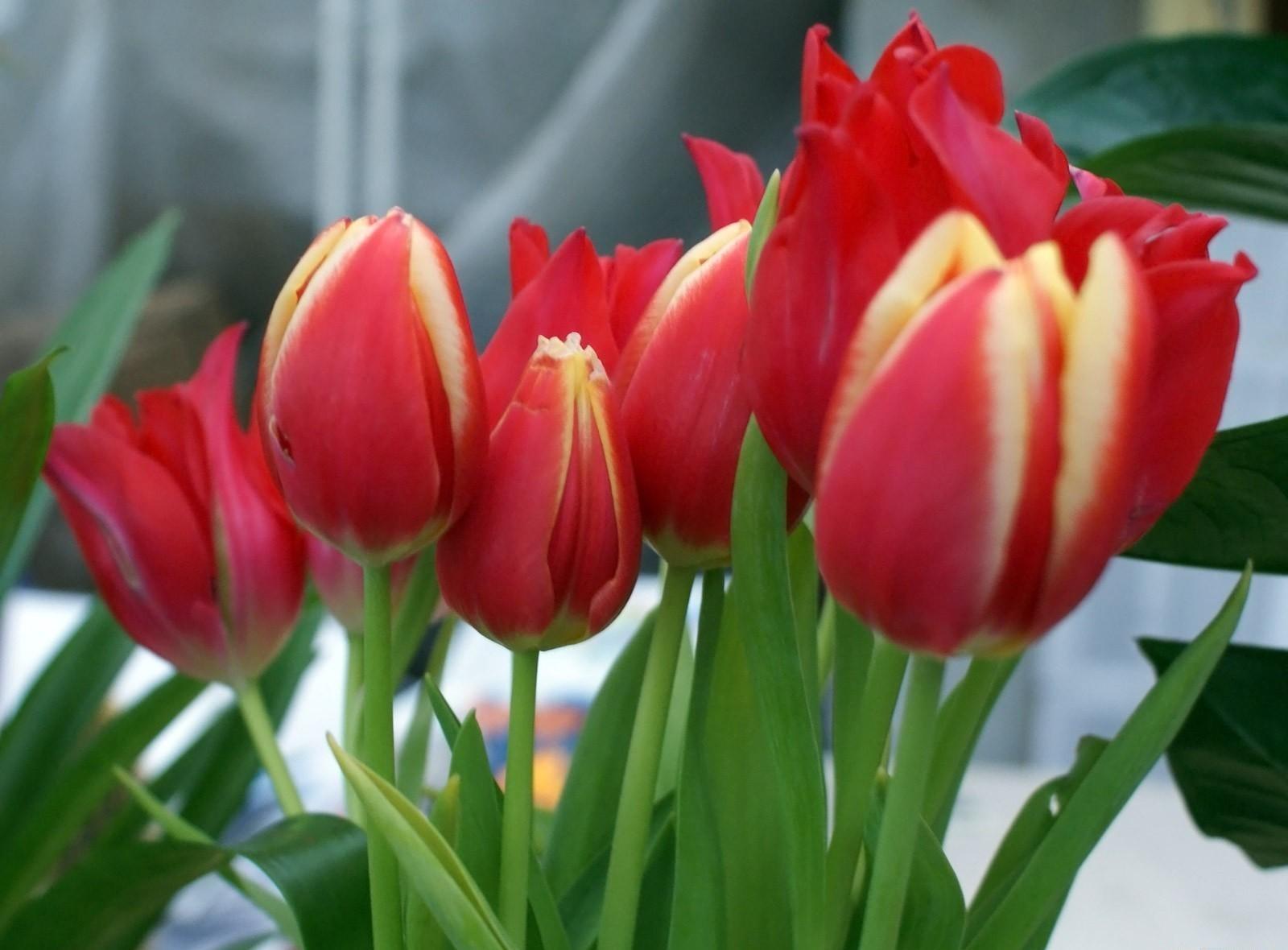 117566 descargar fondo de pantalla Flores, Ramo, Verduras, Primavera, De Cerca, Primer Plano, Tulipanes: protectores de pantalla e imágenes gratis
