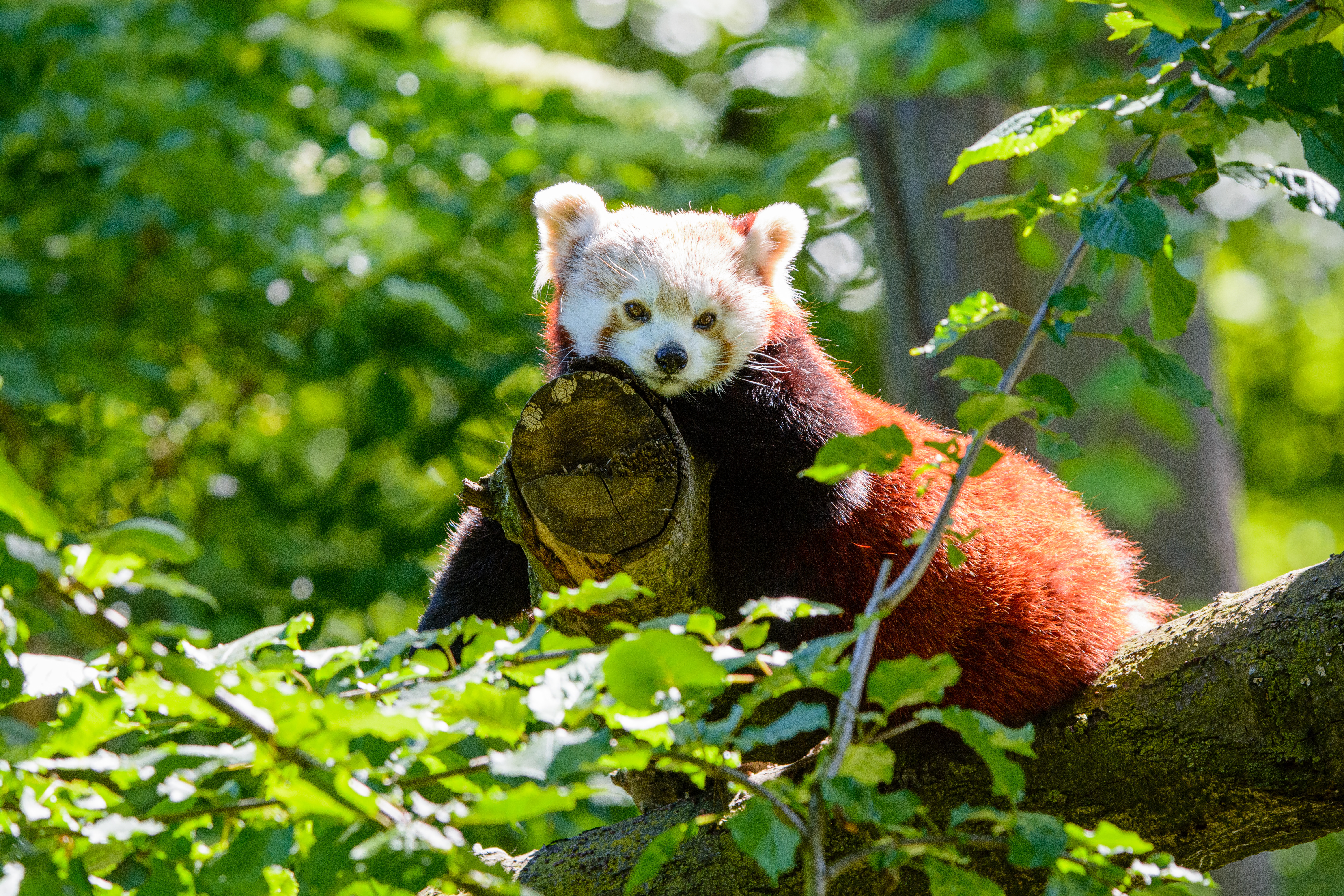 64455 download wallpaper Animals, Red Panda, Panda, Sight, Opinion, Wood, Tree screensavers and pictures for free