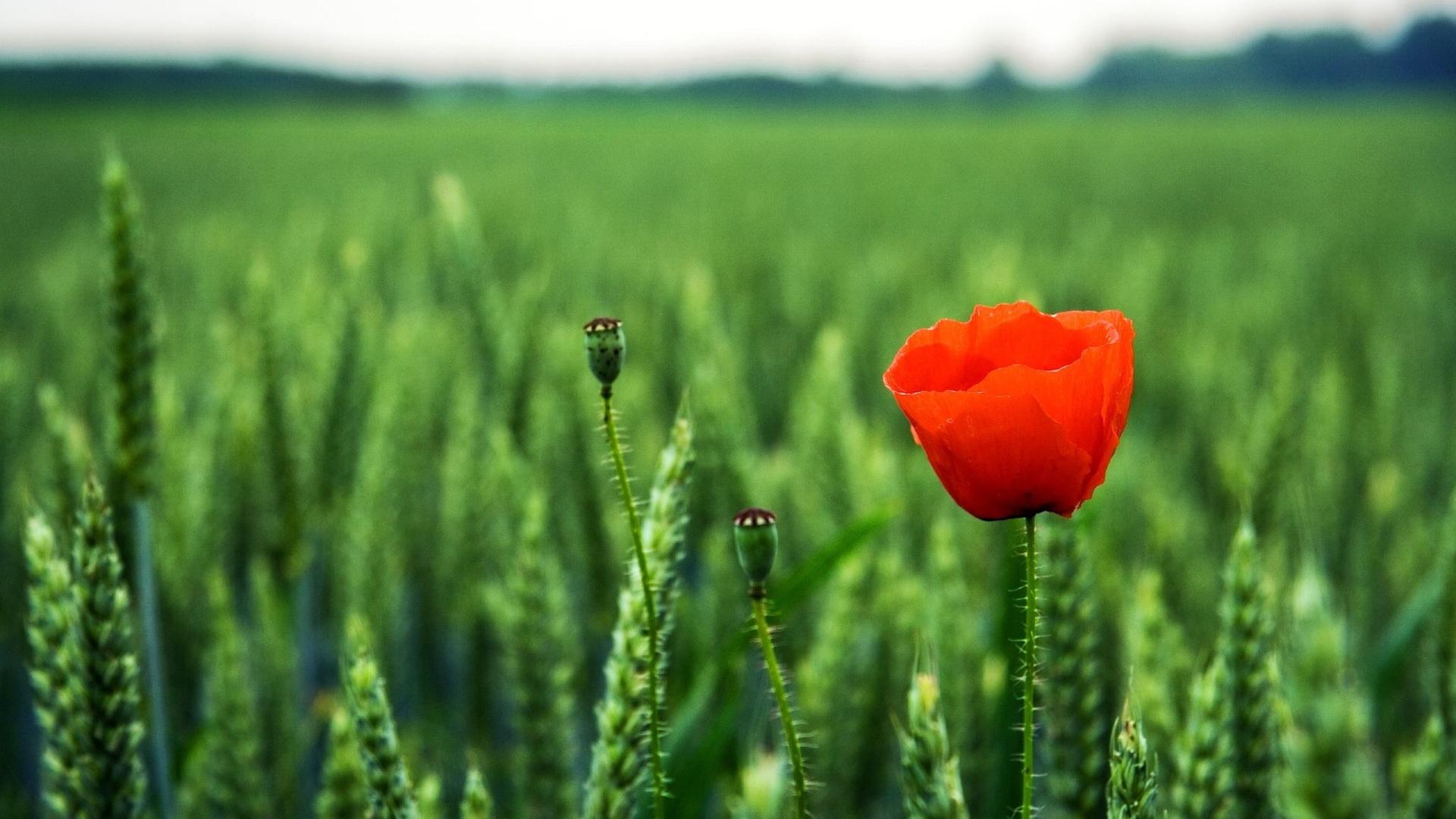 25376 скачать обои Растения, Цветы, Маки - заставки и картинки бесплатно