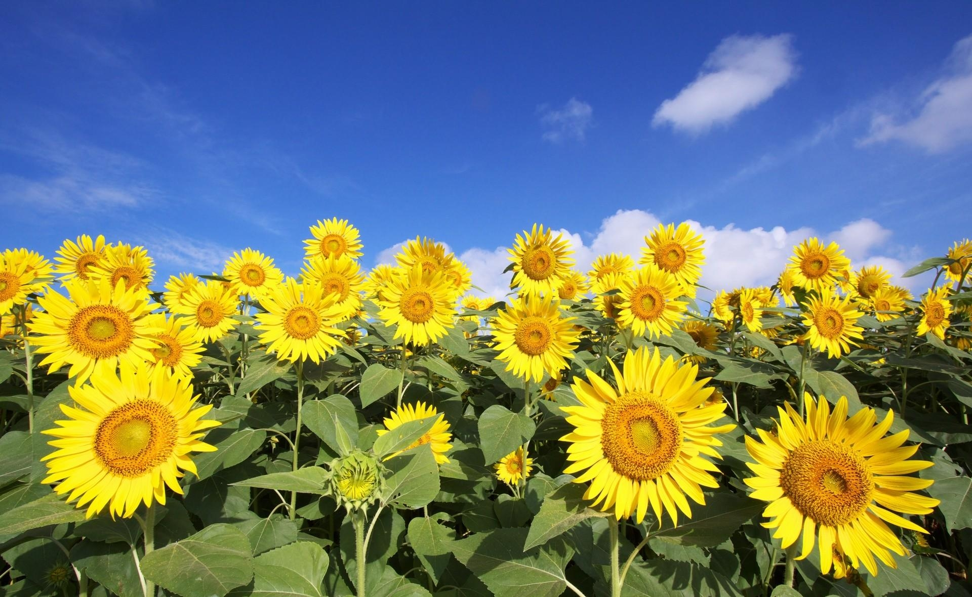 72893 Заставки и Обои Подсолнухи на телефон. Скачать Цветы, Небо, Облака, Солнечно, Поле, Подсолнухи картинки бесплатно