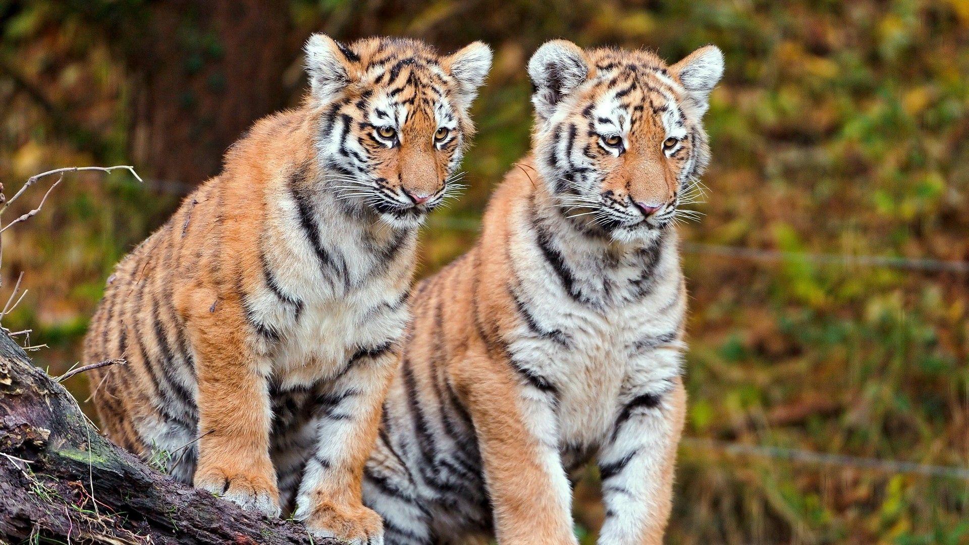105025壁紙のダウンロード動物, カップル, 双, 座る, 大きな猫, ビッグキャッツ, 阪神タイガース-スクリーンセーバーと写真を無料で