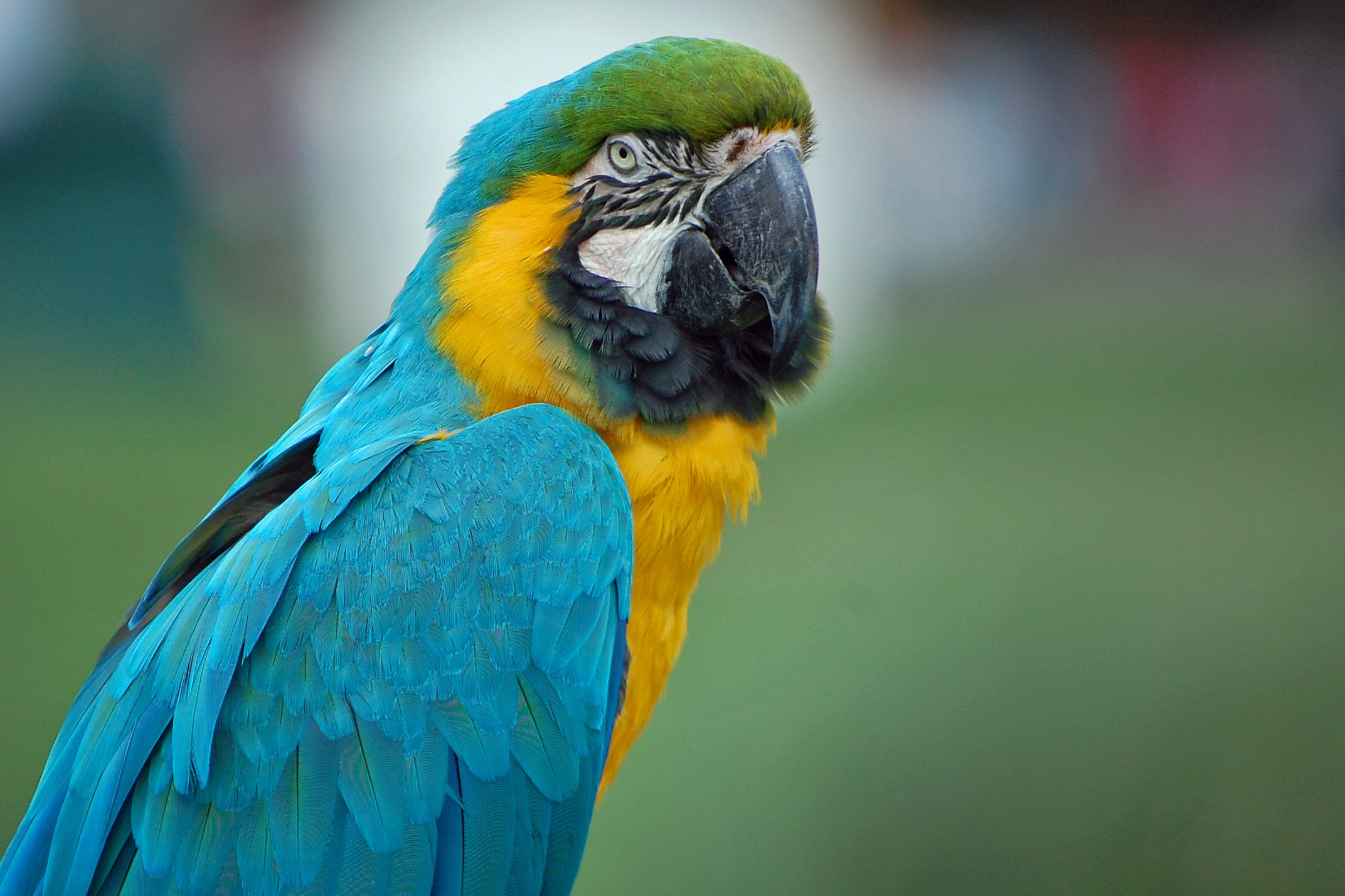 126813 download wallpaper Animals, Parrots, Macaw, Color, Feather screensavers and pictures for free