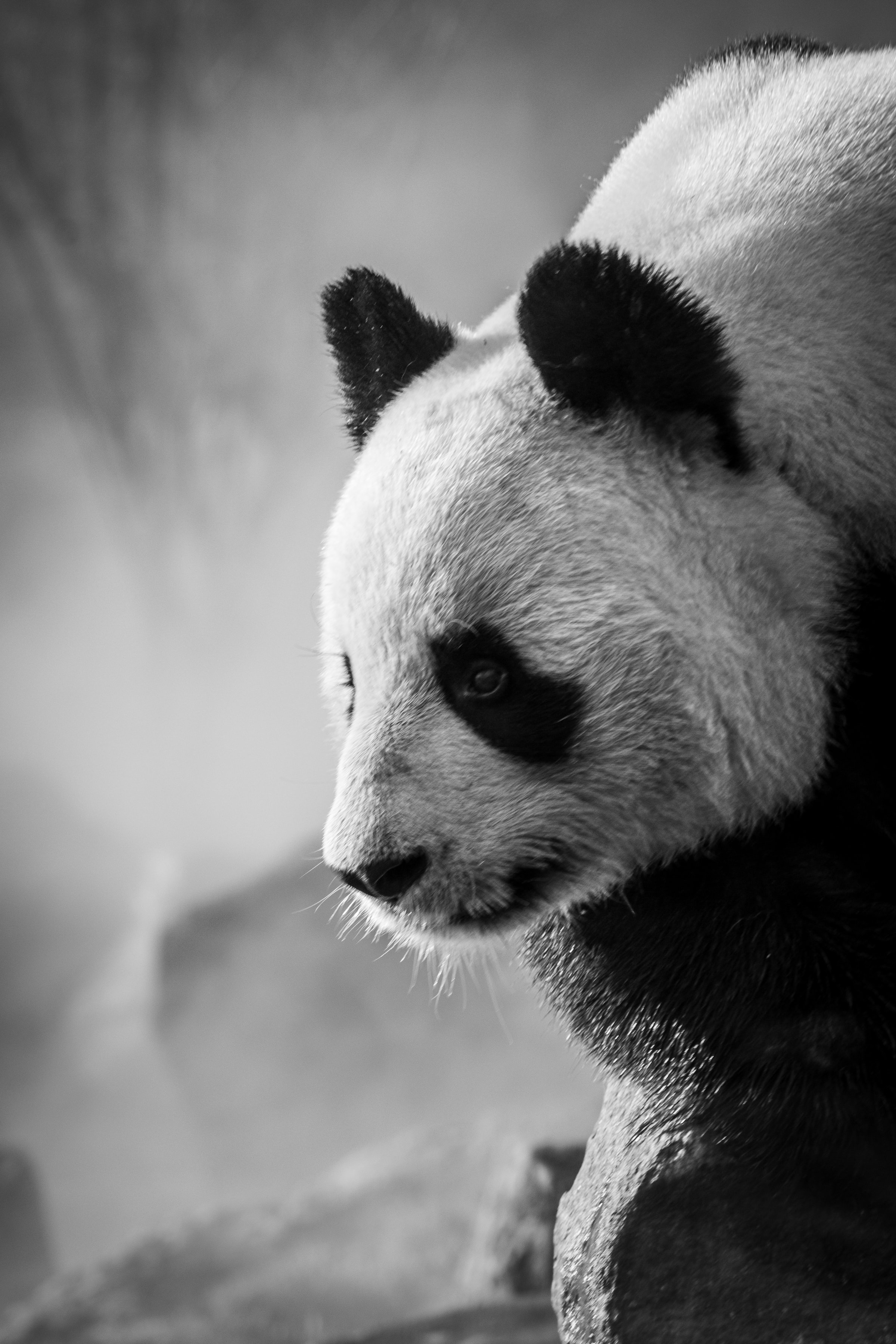 138191 download wallpaper Animals, Panda, Profile, Bw, Chb, Animal screensavers and pictures for free