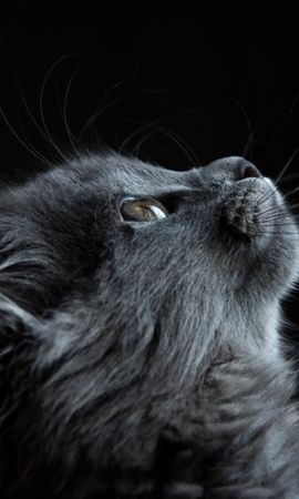 149850 download wallpaper Animals, Cat, Muzzle, Profile, Black Background screensavers and pictures for free