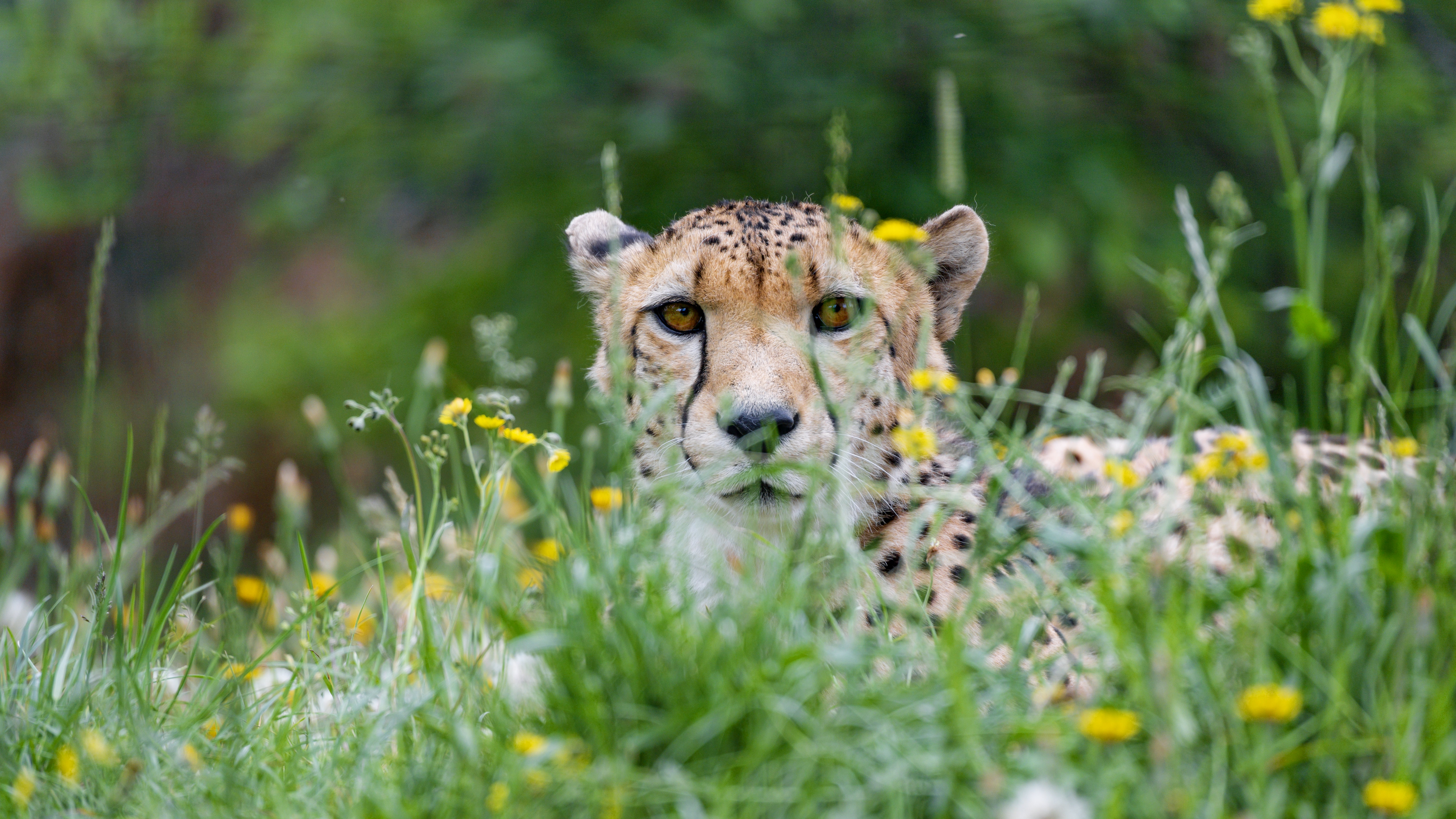 118341 download wallpaper Animals, Grass, Cheetah, Predator, Big Cat, Sight, Opinion screensavers and pictures for free