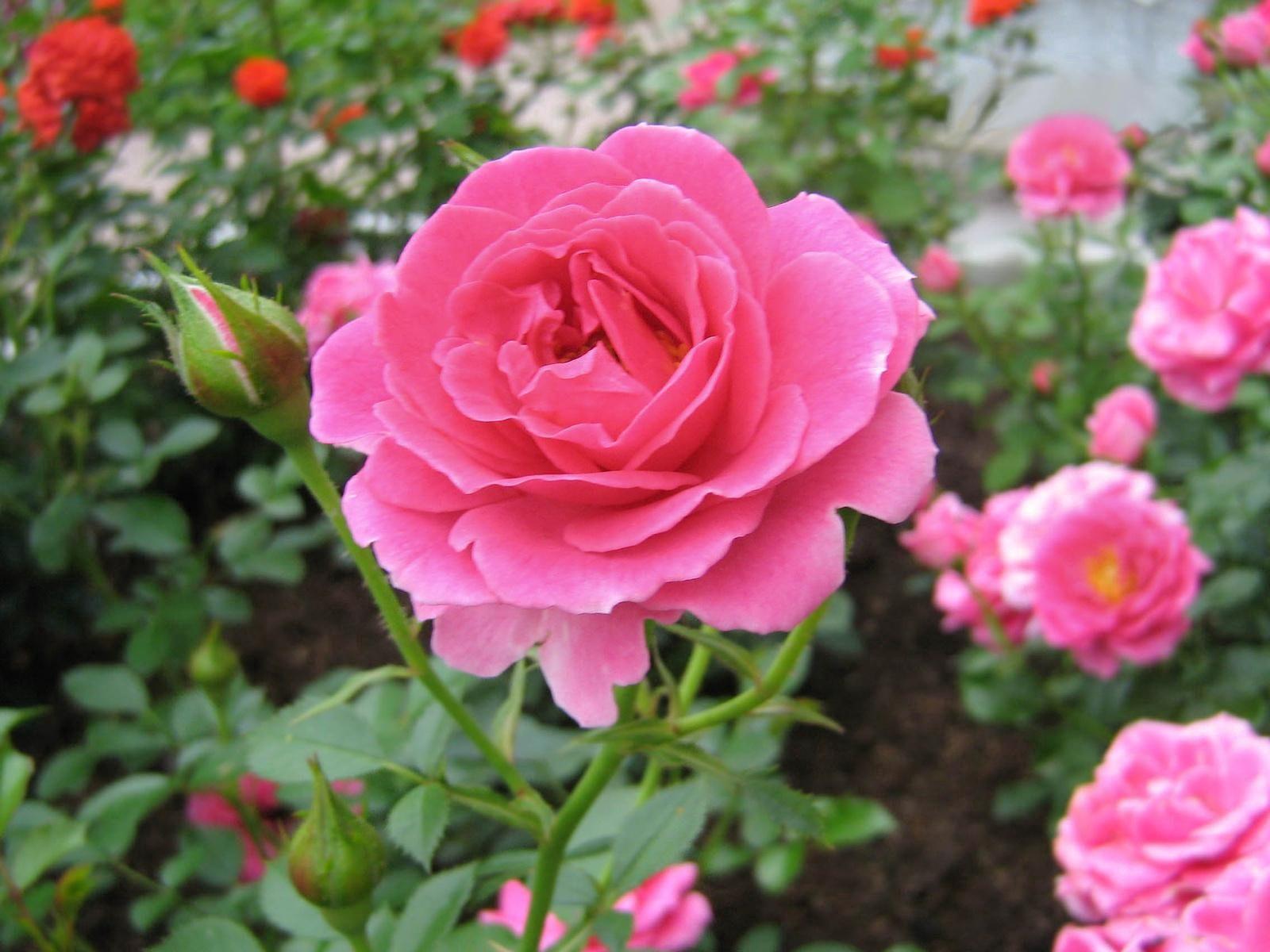 75259 обои 320x480 на телефон бесплатно, скачать картинки Розы, Цветы, Зелень, Распущенные, Сад 320x480 на мобильный