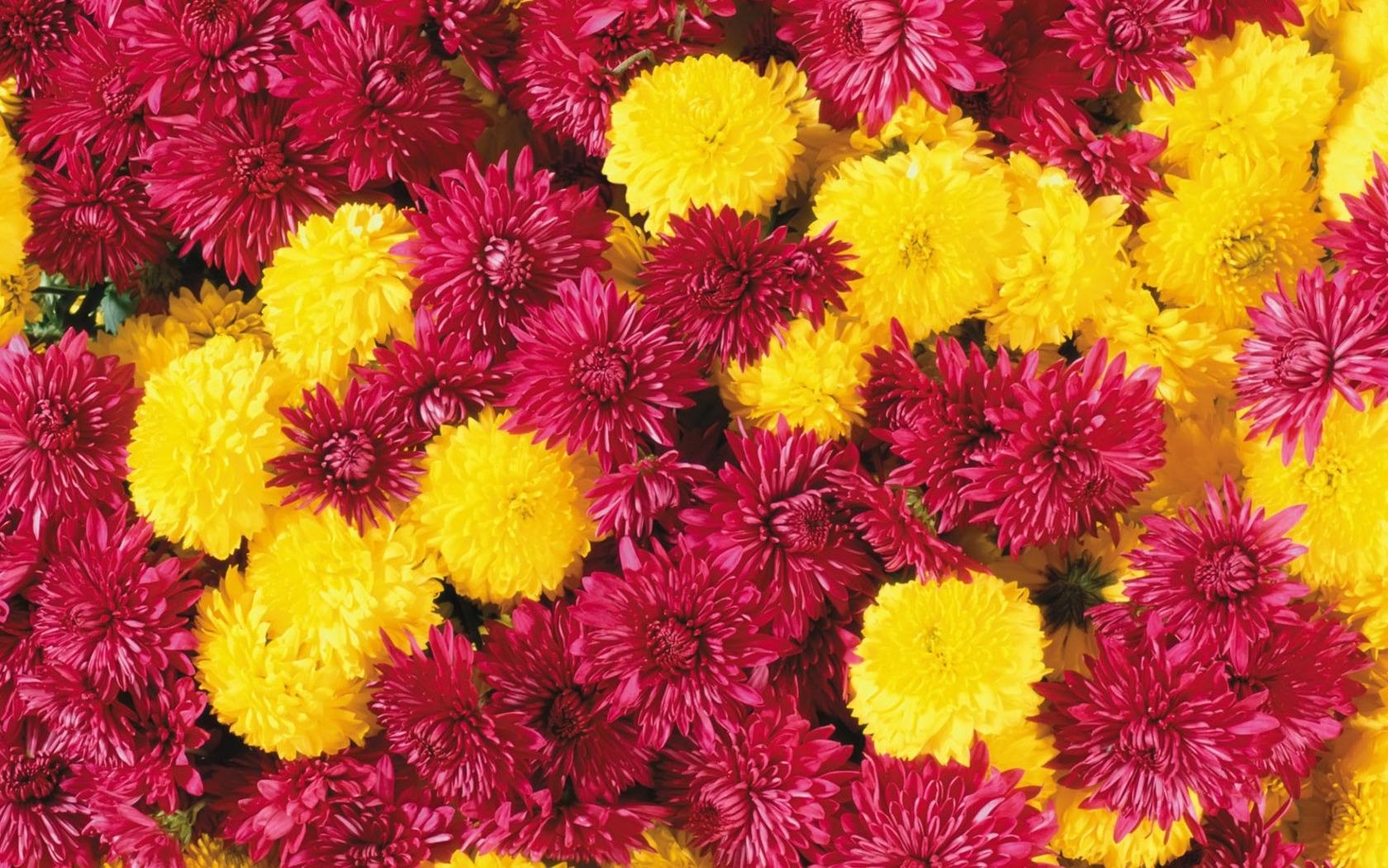 664 скачать обои Растения, Цветы, Хризантемы - заставки и картинки бесплатно
