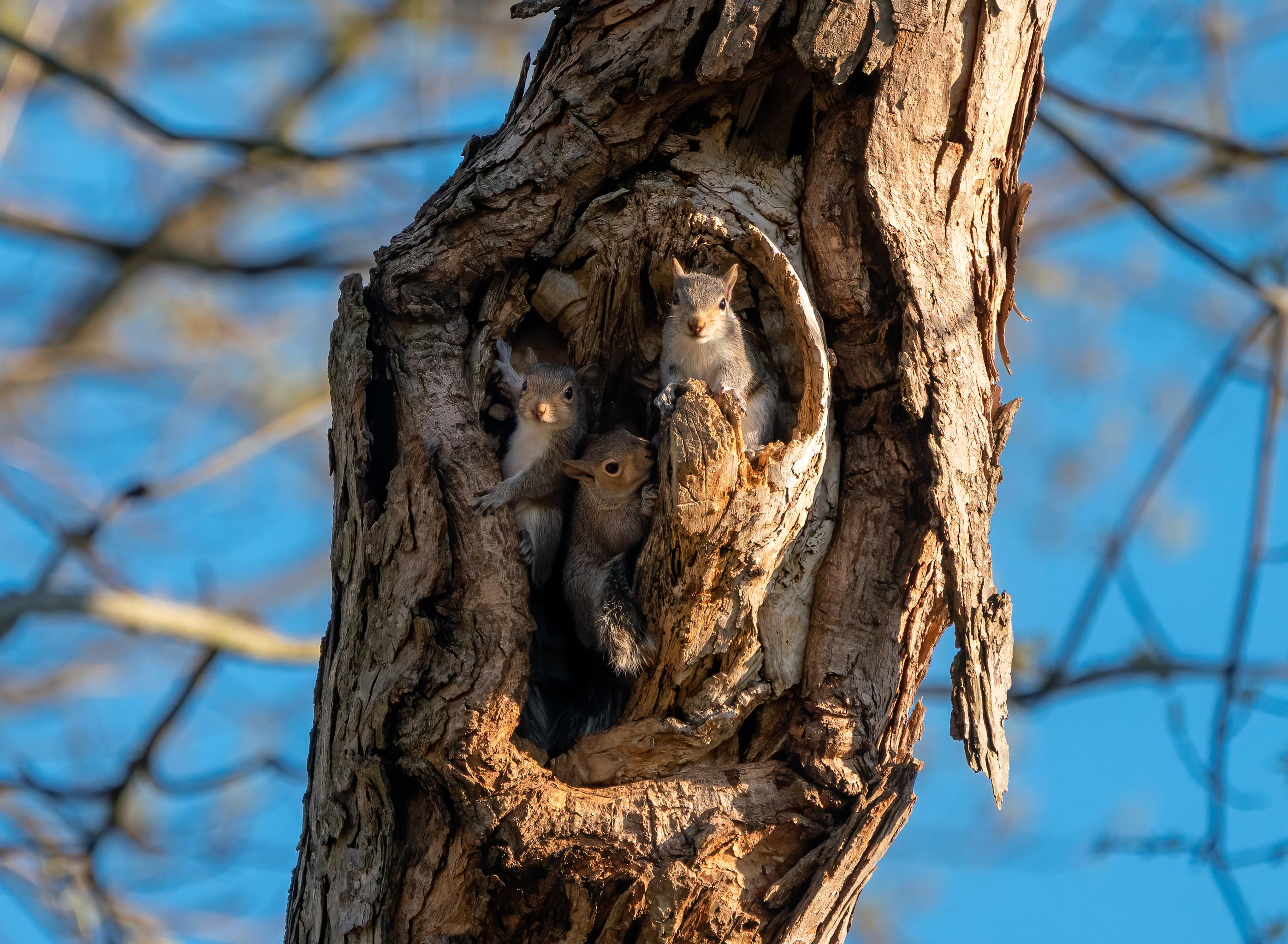 137833 Hintergrundbild herunterladen Tiere, Eichhörnchen, Nagetiere, Holz, Baum, Nett, Schatz, Borke, Bellen, Hohl, Hohlen - Bildschirmschoner und Bilder kostenlos