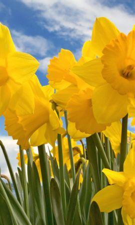 740 скачать обои Растения, Цветы, Нарциссы - заставки и картинки бесплатно