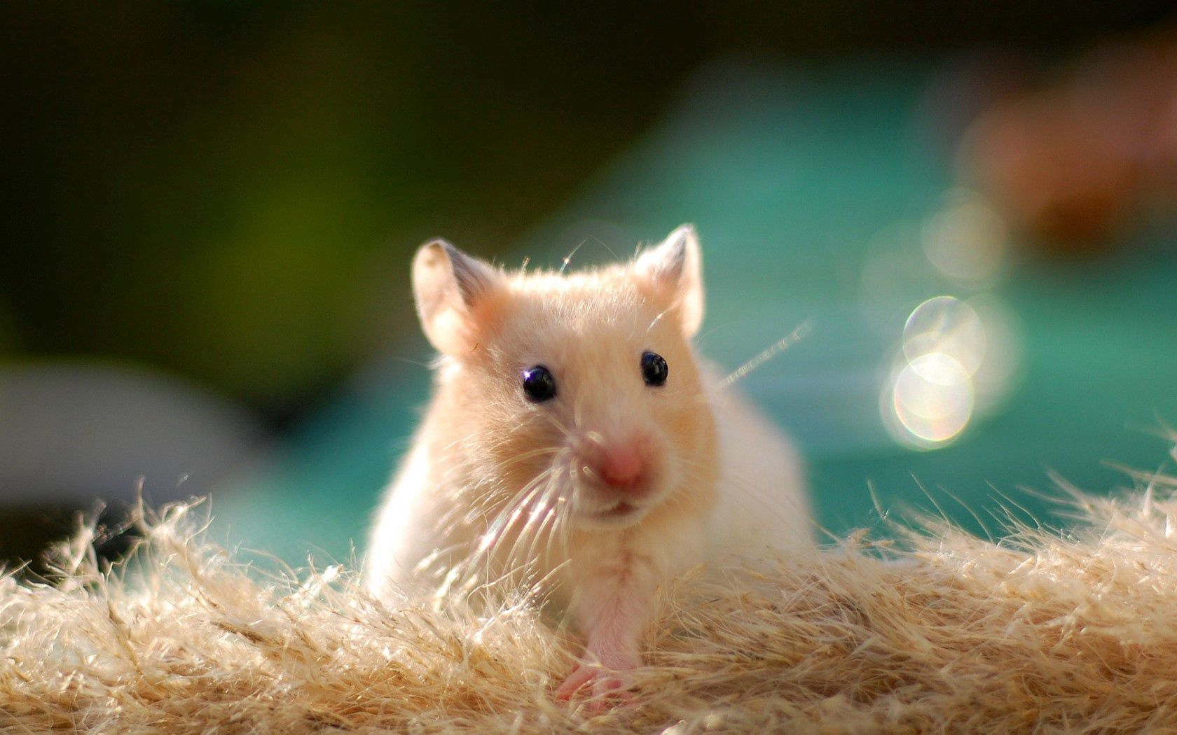 65052 Screensavers and Wallpapers Animal for phone. Download Animals, Hamster, Rodent, Animal, Nice, Sweetheart pictures for free