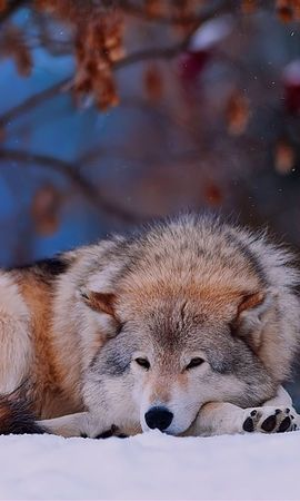 131701 download wallpaper Animals, Wolf, Snow, To Lie Down, Lie, Cold, Forest, Trees screensavers and pictures for free