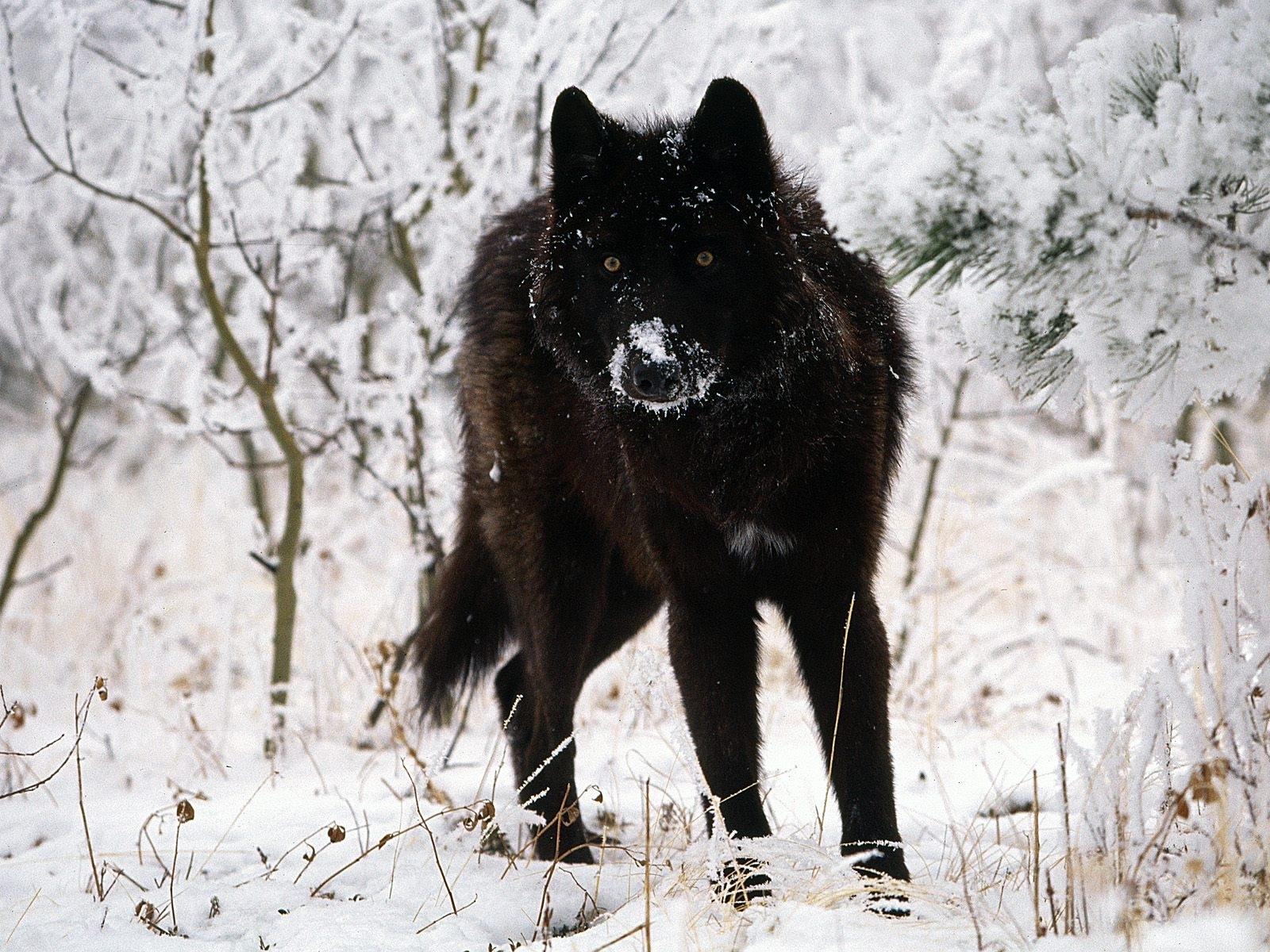 13207 скачать обои Животные, Волки, Зима, Снег - заставки и картинки бесплатно