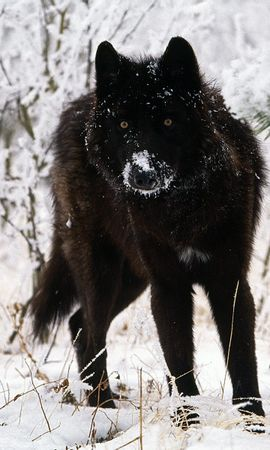 13207 download wallpaper Animals, Wolfs, Winter, Snow screensavers and pictures for free