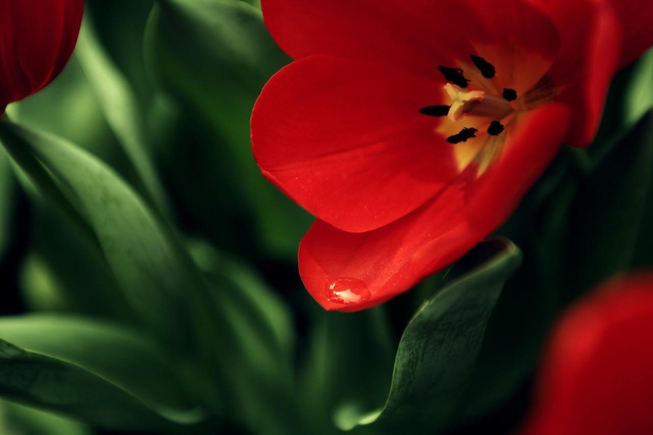 22721 скачать обои Растения, Цветы, Тюльпаны - заставки и картинки бесплатно