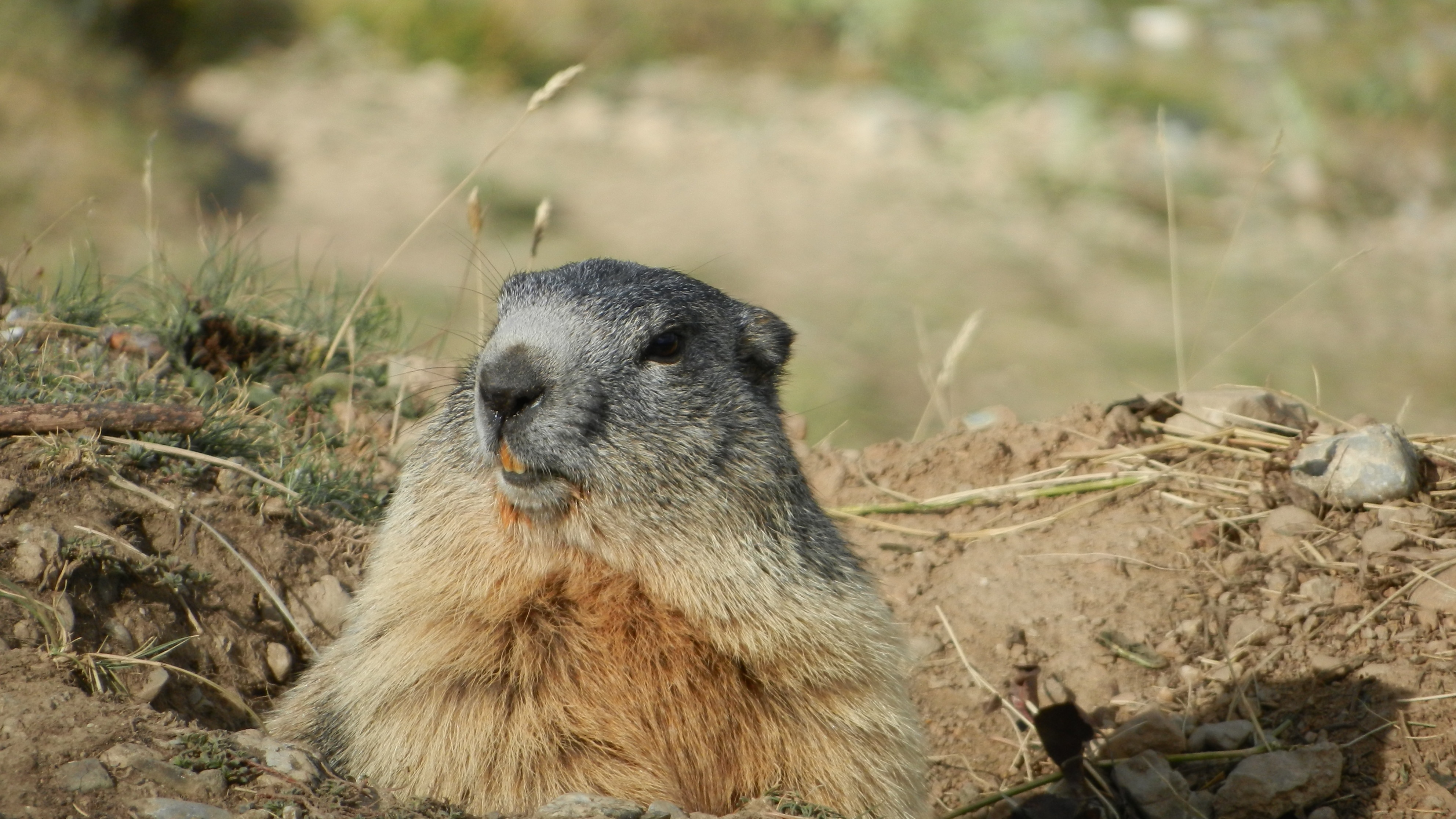 92248 download wallpaper Animals, Marmot, Alps, Rodent, Muzzle screensavers and pictures for free