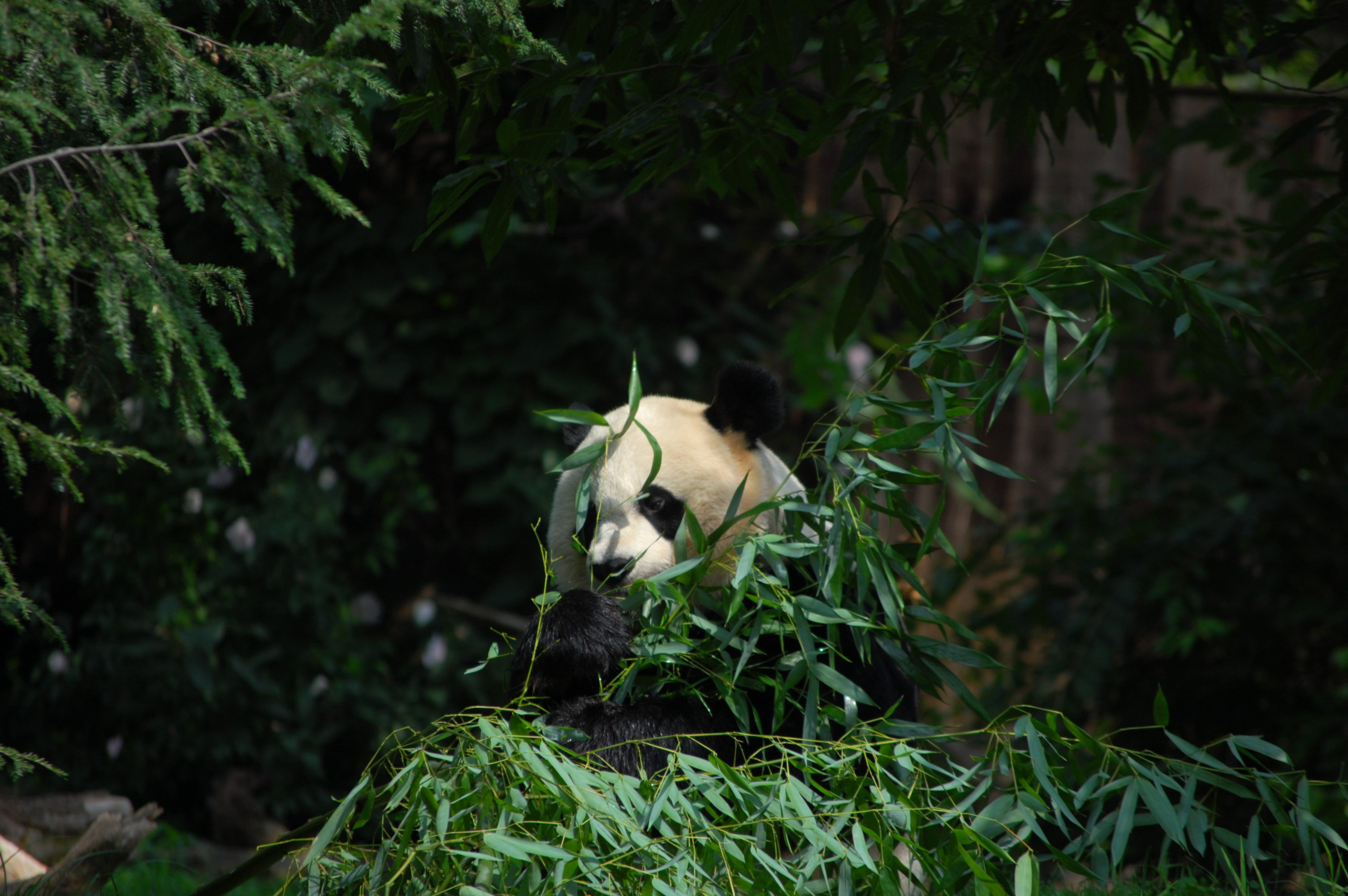 82558 download wallpaper Animals, Panda, Animal, Bamboo, Leaves screensavers and pictures for free