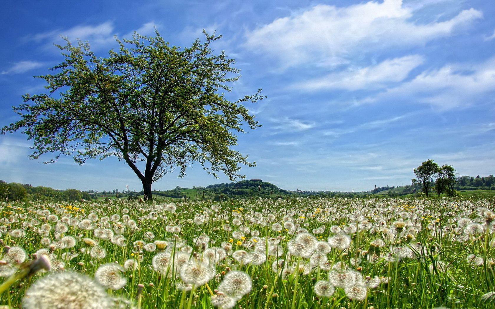 155703 Заставки и Обои Одуванчики на телефон. Скачать Природа, Дерево, Поле, Одуванчики, Лето, Цветы картинки бесплатно
