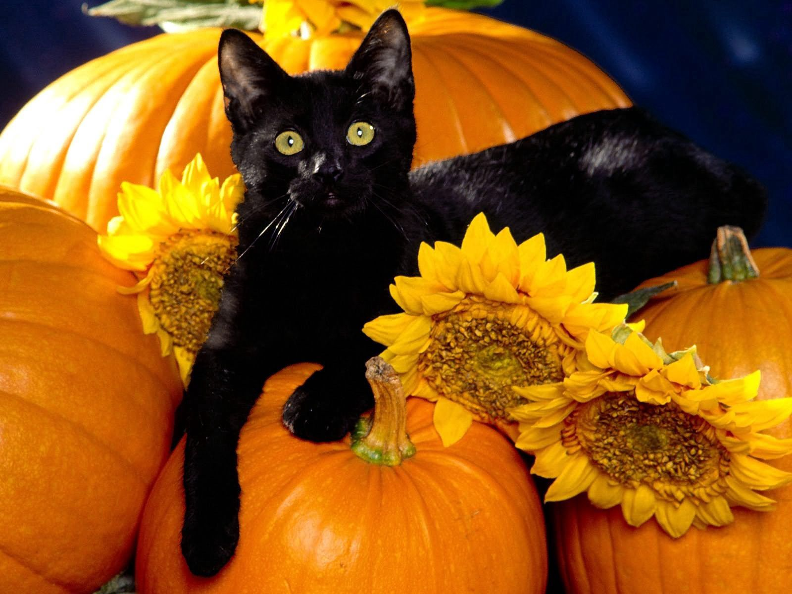99313 Screensavers and Wallpapers Pumpkin for phone. Download Animals, Pumpkin, Sit, Cat pictures for free