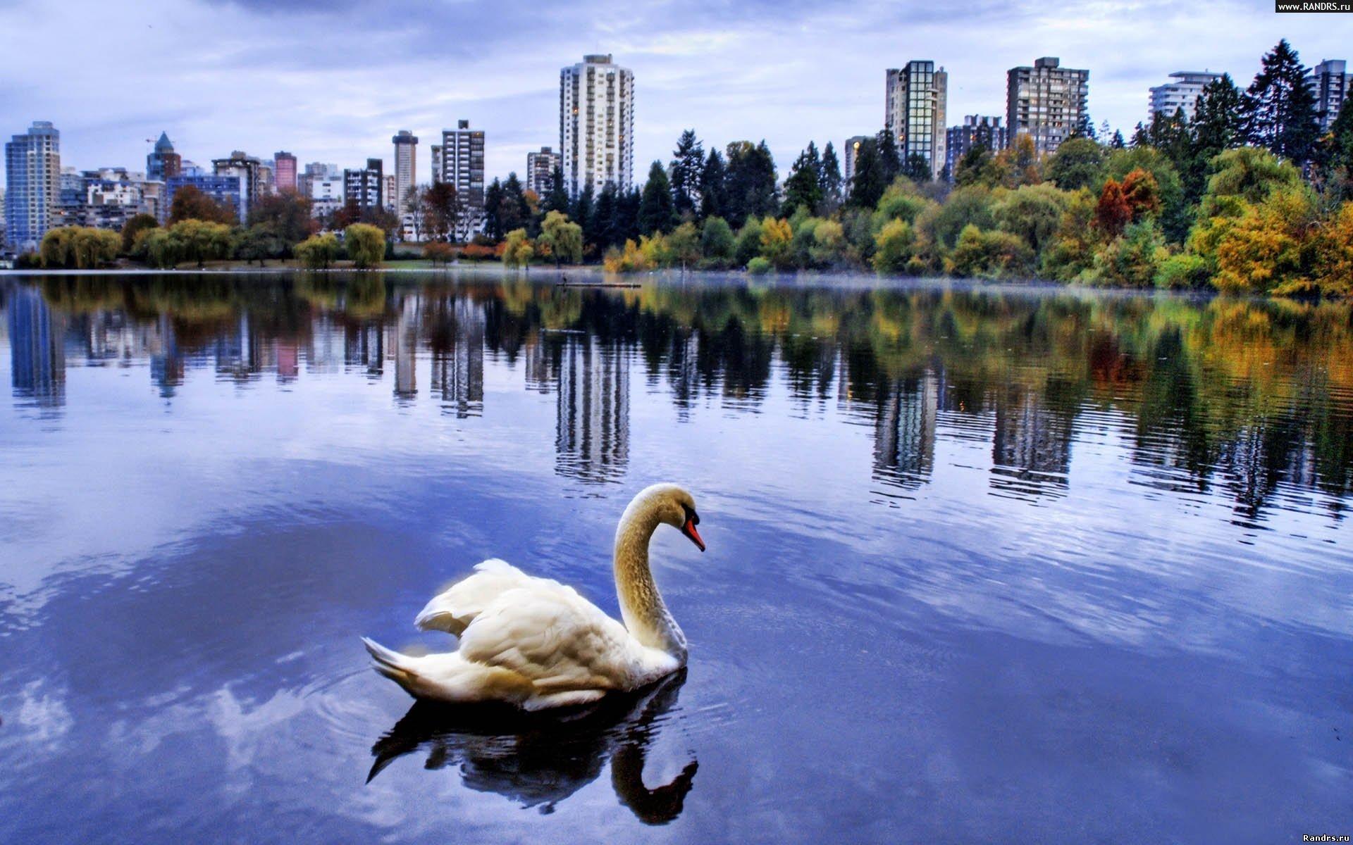Скачать обои Лебеди на телефон бесплатно