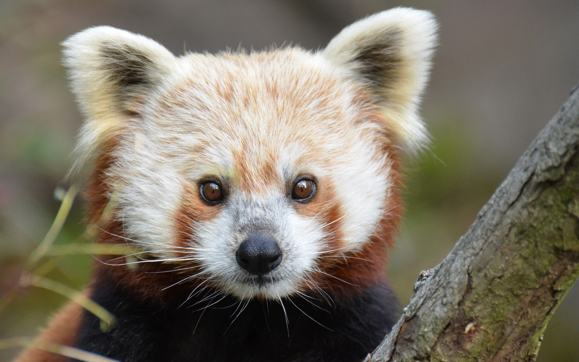 131600 Screensavers and Wallpapers Nose for phone. Download Animals, Sight, Opinion, Nose, Red Panda pictures for free