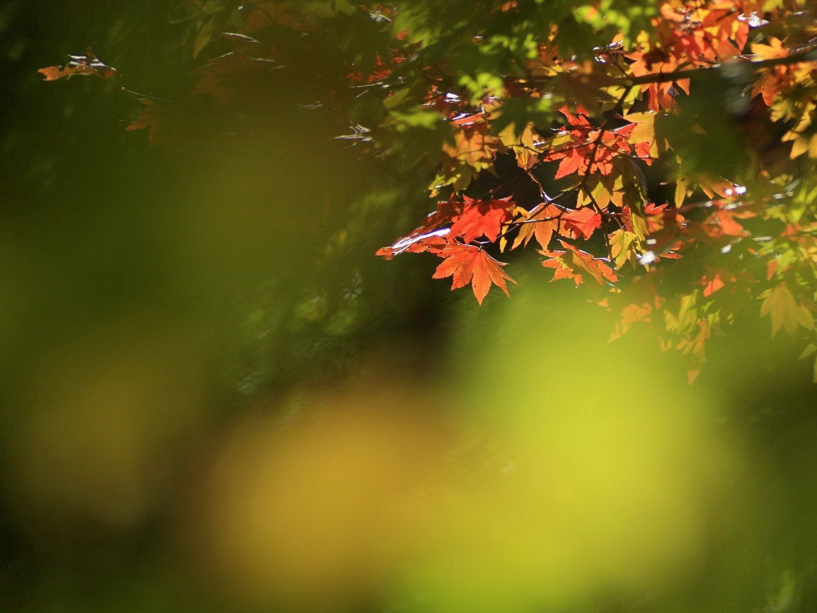84391 download wallpaper Nature, Leaves, Dry, Branch, Maple screensavers and pictures for free