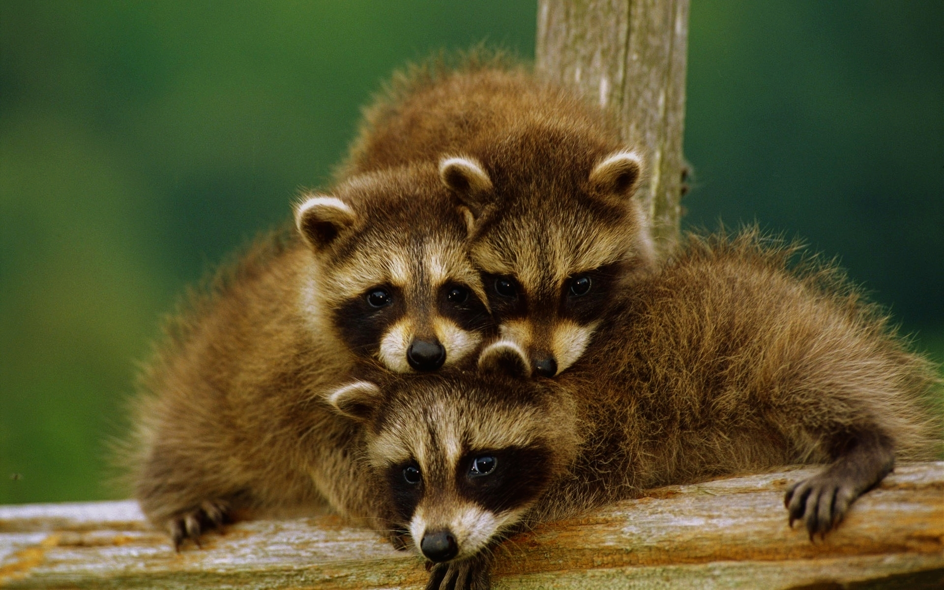 30293 download wallpaper Animals, Raccoons screensavers and pictures for free