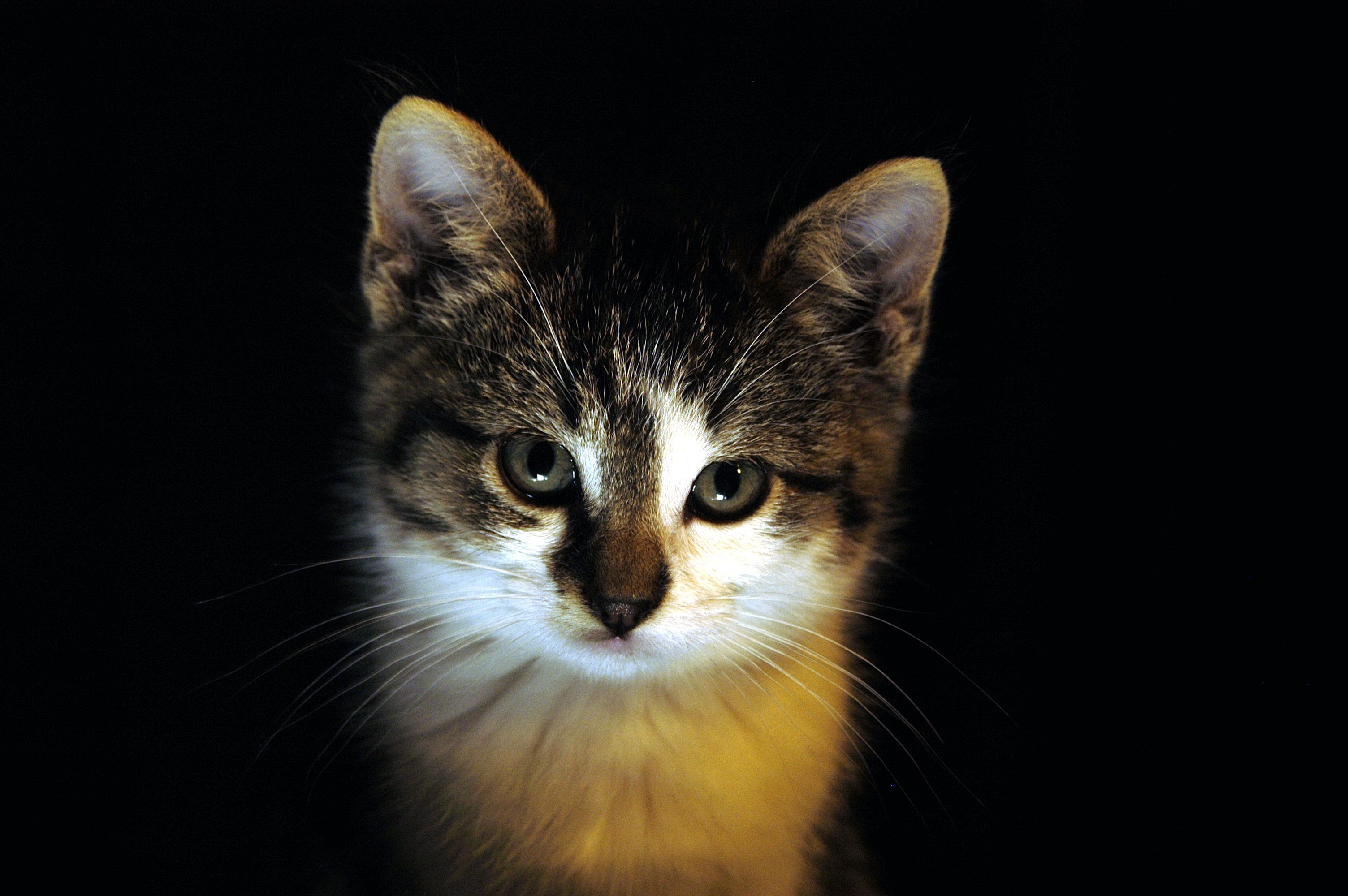 6869 download wallpaper Animals, Cats screensavers and pictures for free