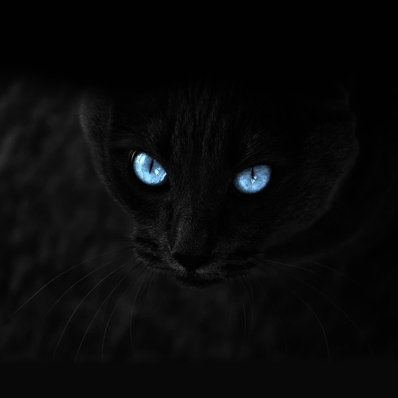 67451 Protetores de tela e papéis de parede Opinião em seu telefone. Baixe Gato, O Preto, Visão, Opinião, De Olhos Azuis, Olhos Azuis fotos gratuitamente