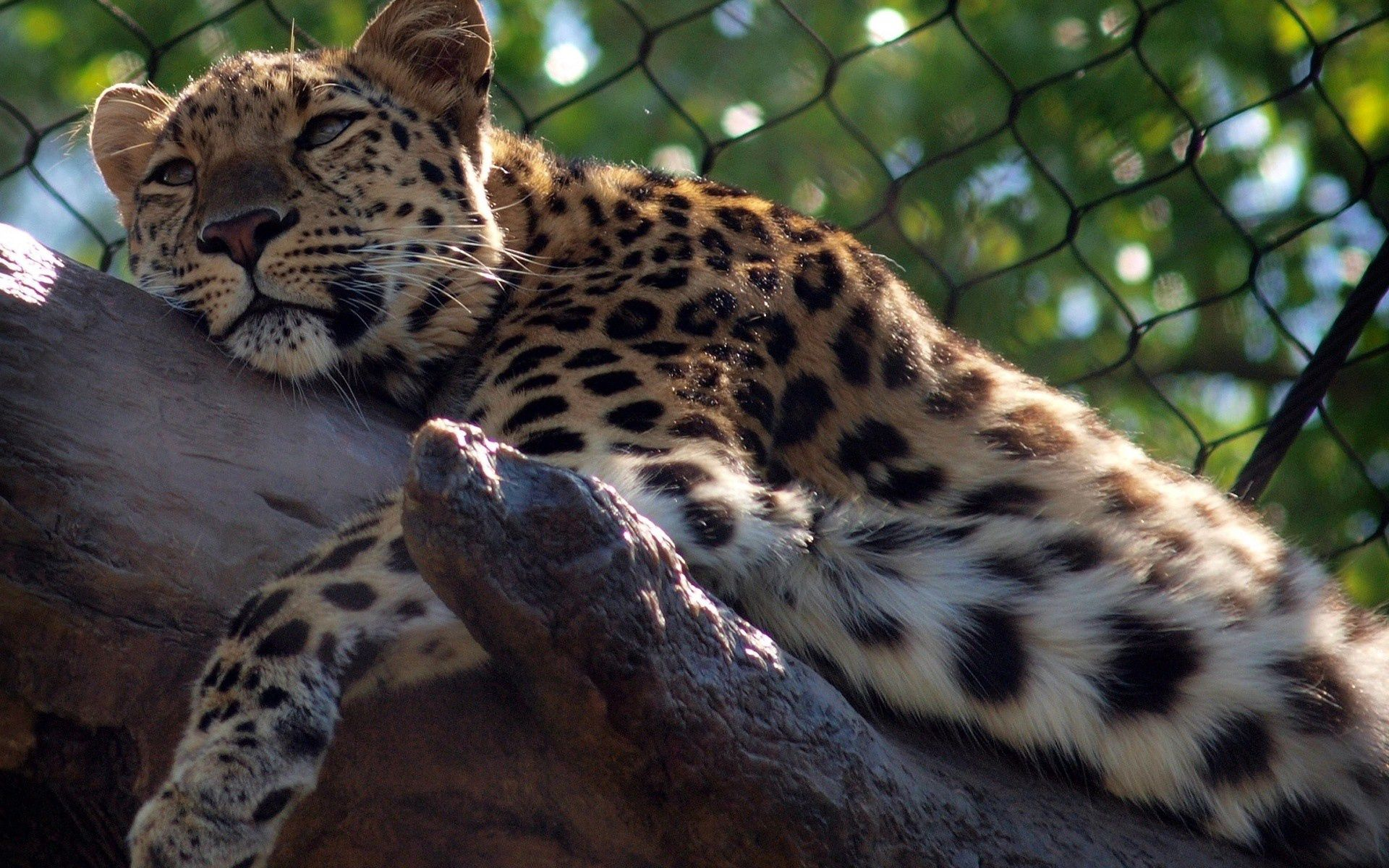 105627 download wallpaper Animals, Leopard, Predator, Big Cat screensavers and pictures for free