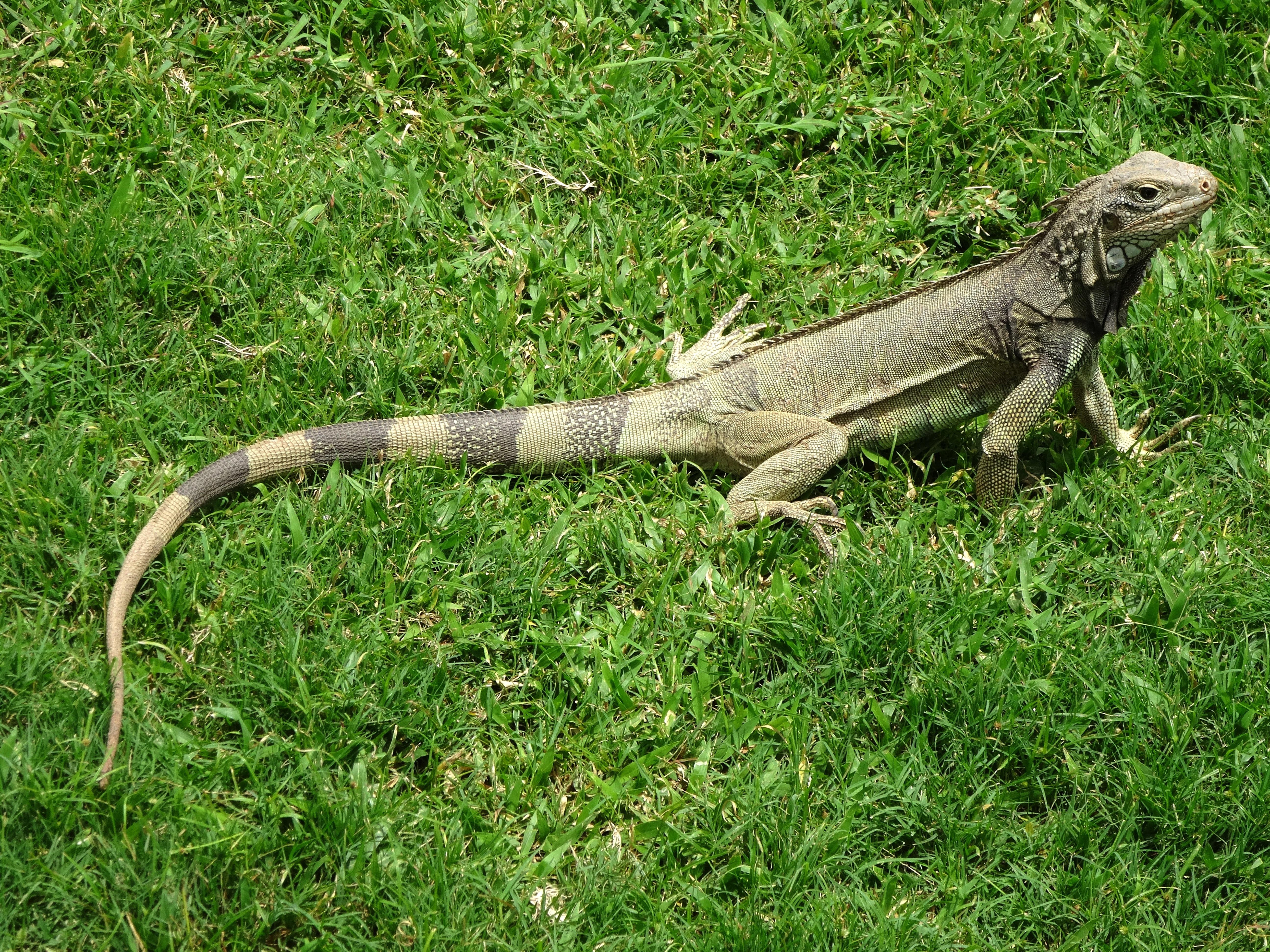 136446 Hintergrundbild herunterladen Tiere, Grass, Eidechse, Leguan, Iguana - Bildschirmschoner und Bilder kostenlos