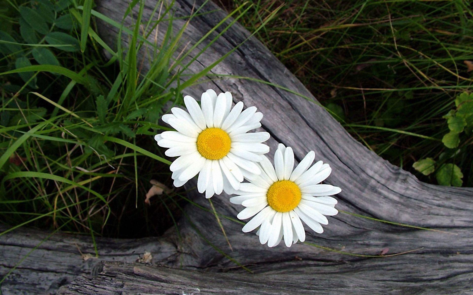 114956 скачать обои Цветы, Трава, Ромашки, Бревно - заставки и картинки бесплатно