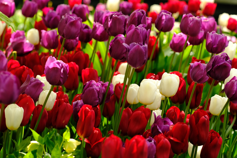 83949 скачать обои Растения, Тюльпаны, Цветы, Разноцветный - заставки и картинки бесплатно